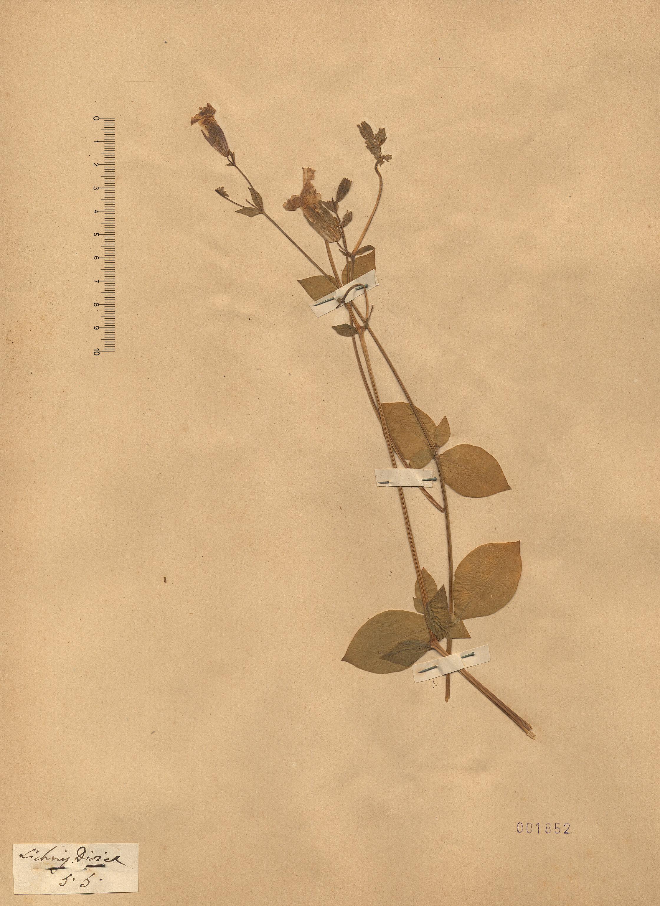 © Hortus Botanicus Catinensis - Herb. sheet 001852<br>