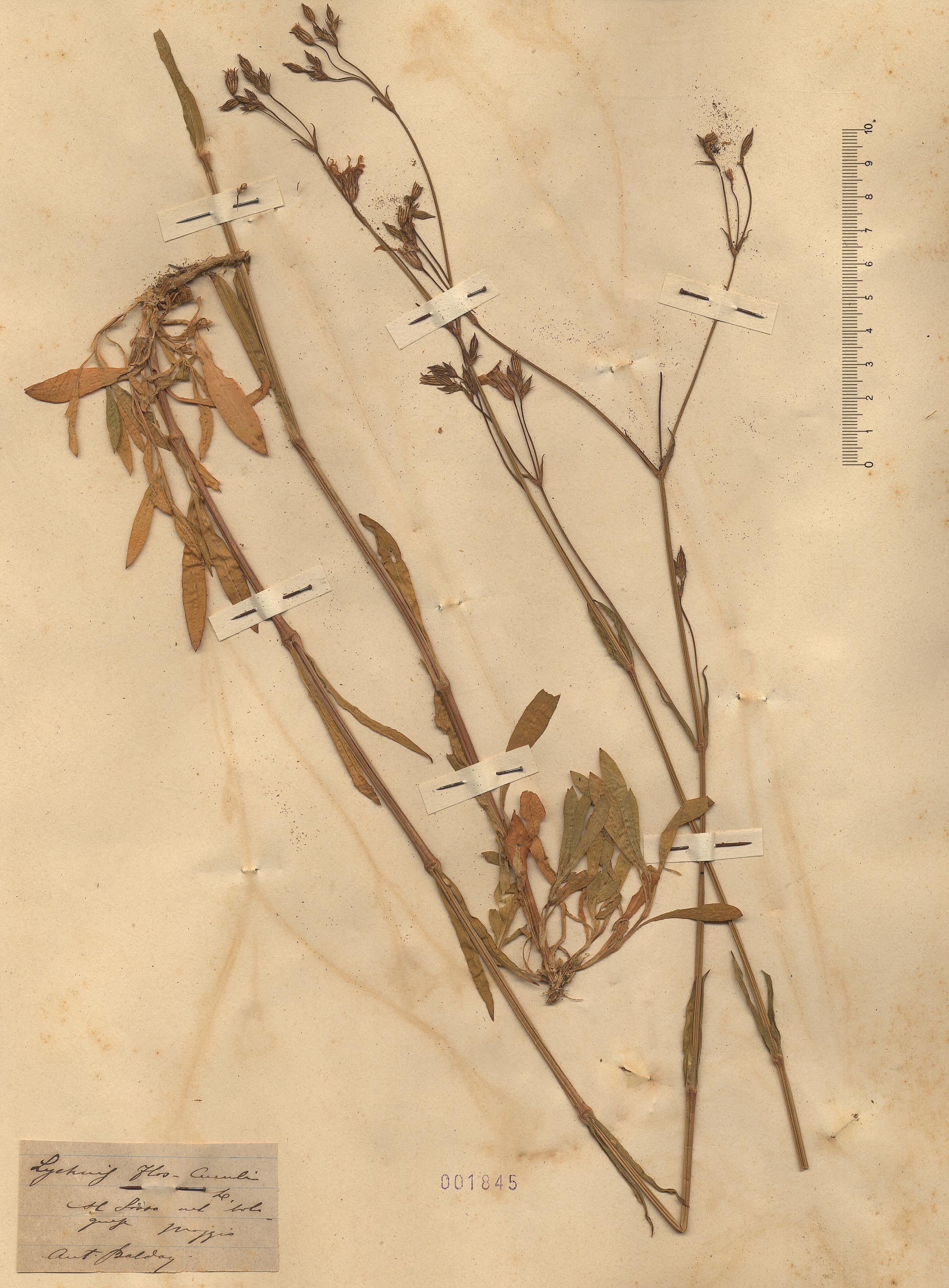 © Hortus Botanicus Catinensis - Herb. sheet 001845<br>