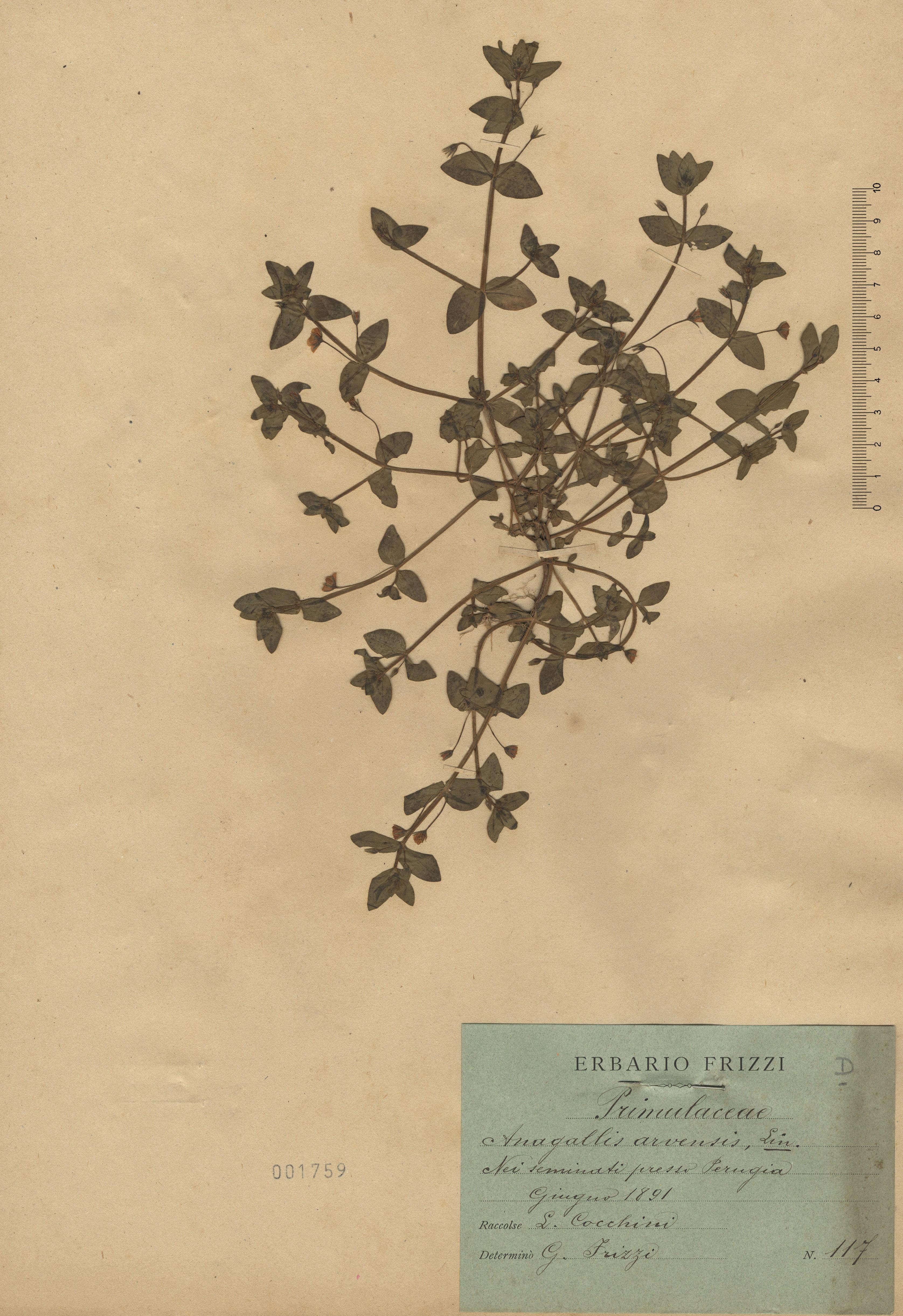 © Hortus Botanicus Catinensis - Herb. sheet 001759<br>