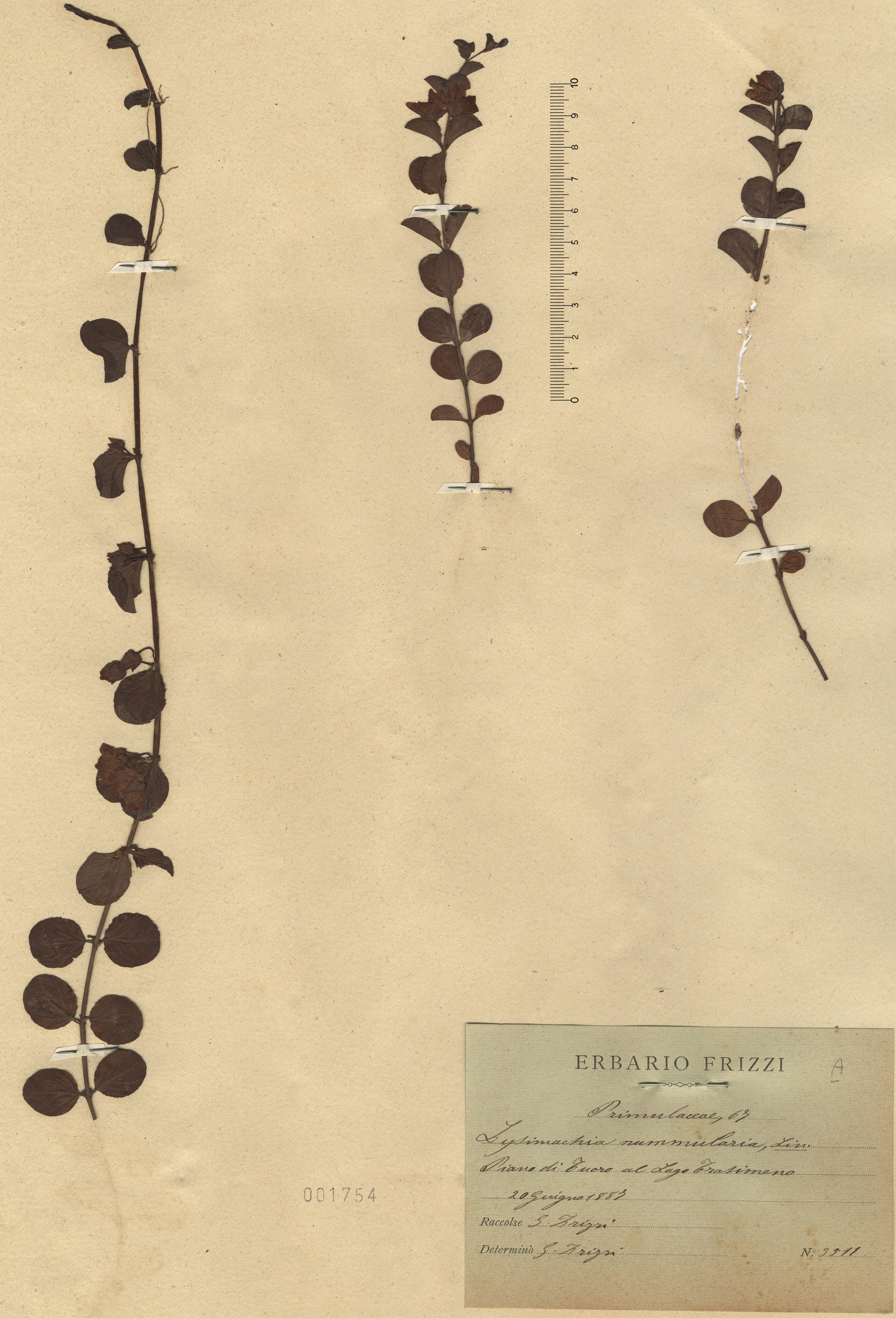 © Hortus Botanicus Catinensis - Herb. sheet 001754<br>