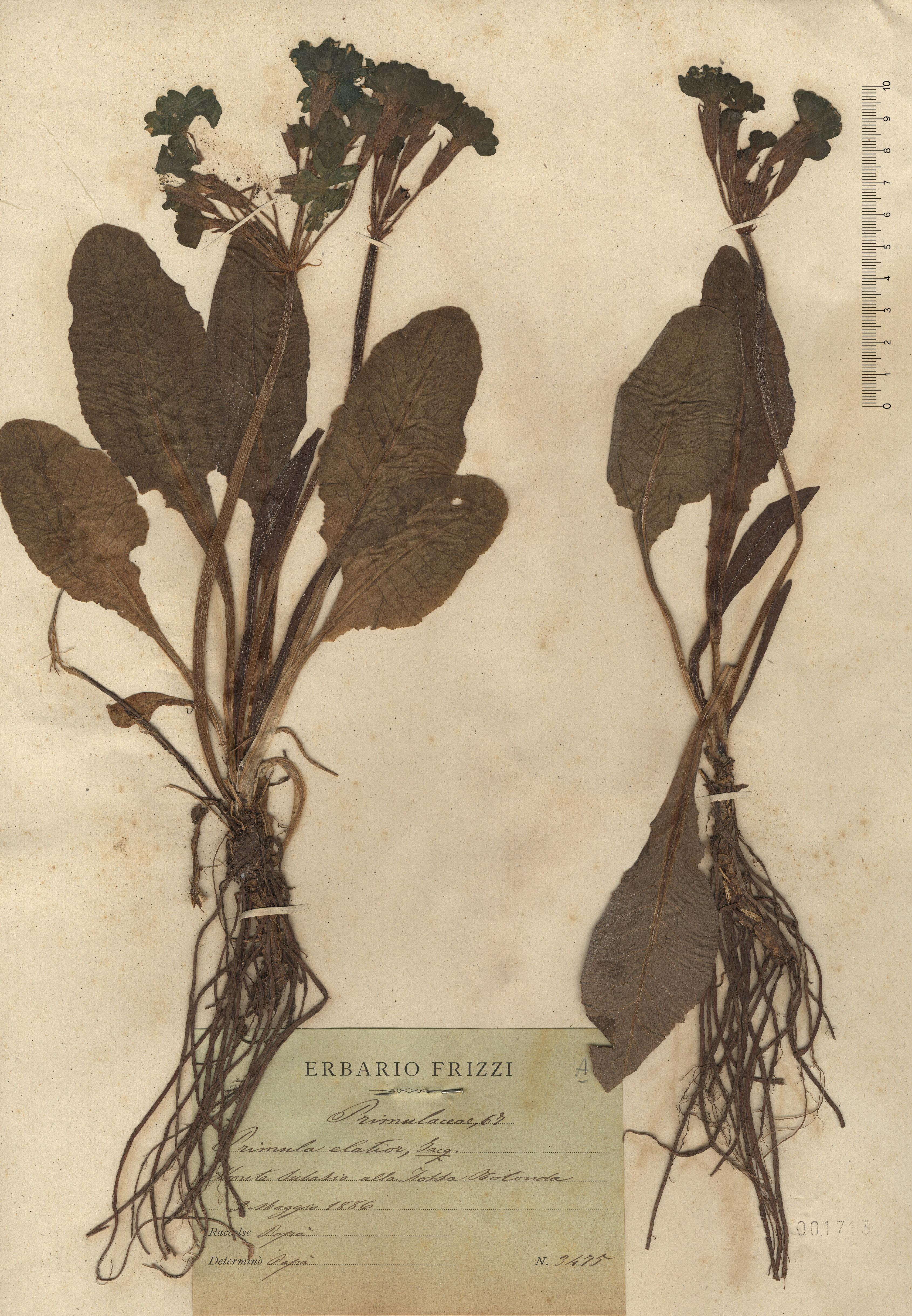 © Hortus Botanicus Catinensis - Herb. sheet 001713<br>