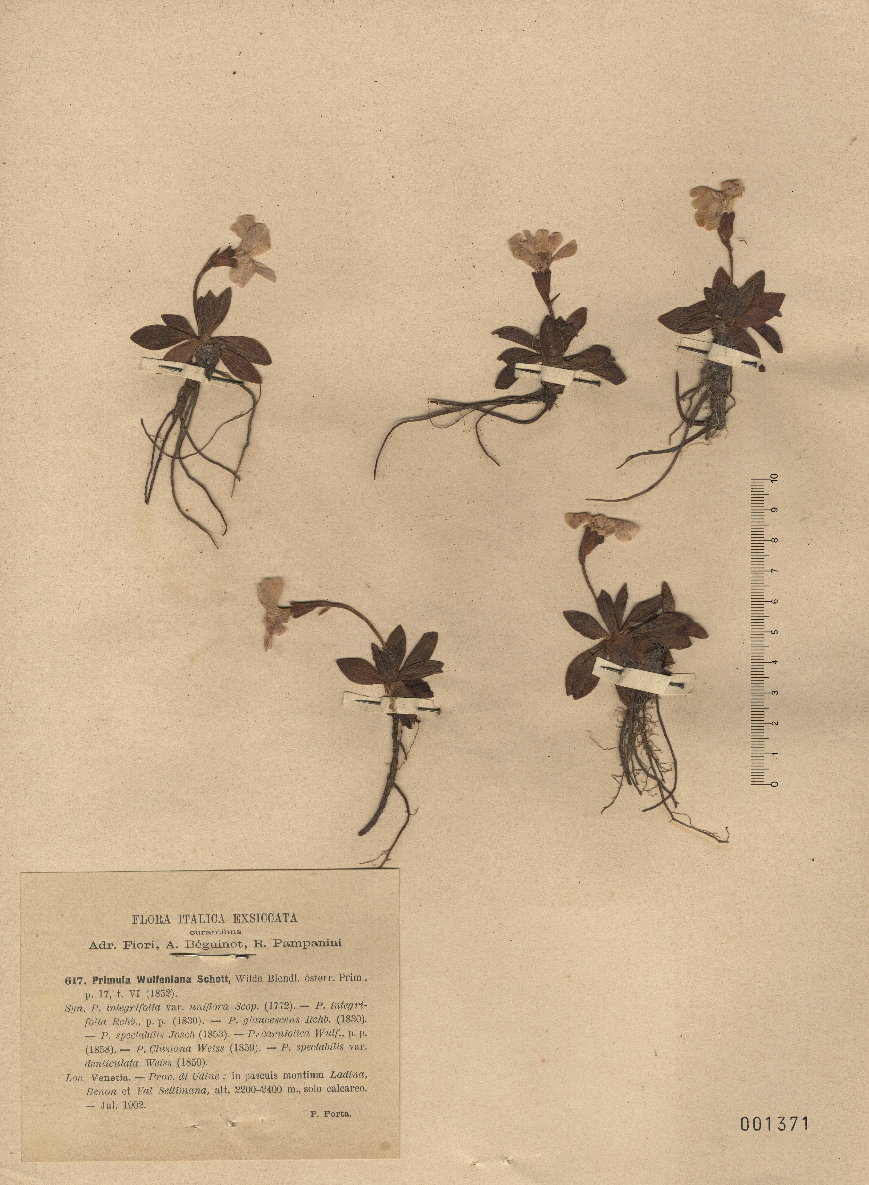 © Hortus Botanicus Catinensis - Herb. sheet 001371<br>