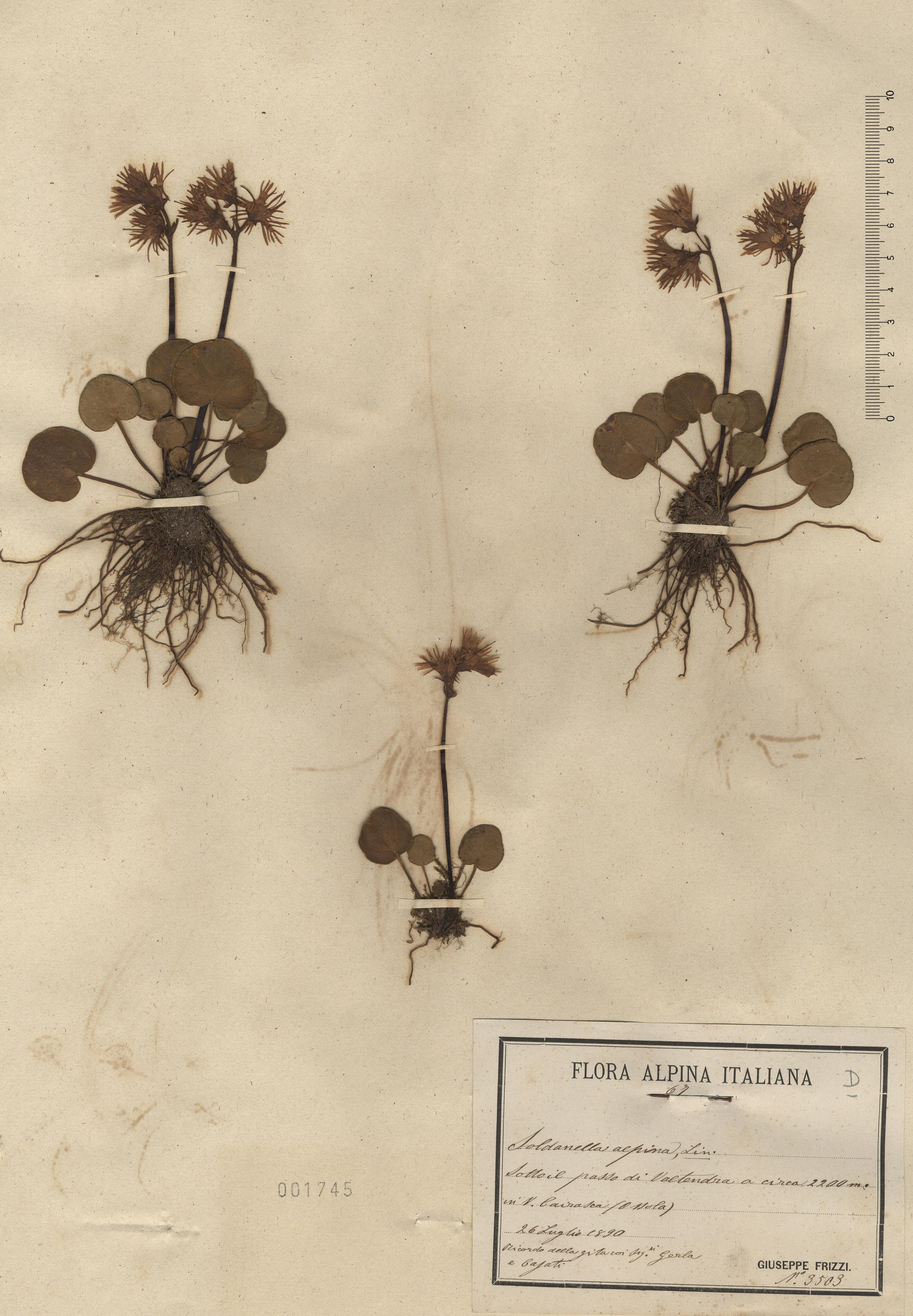 © Hortus Botanicus Catinensis - Herb. sheet 001745<br>