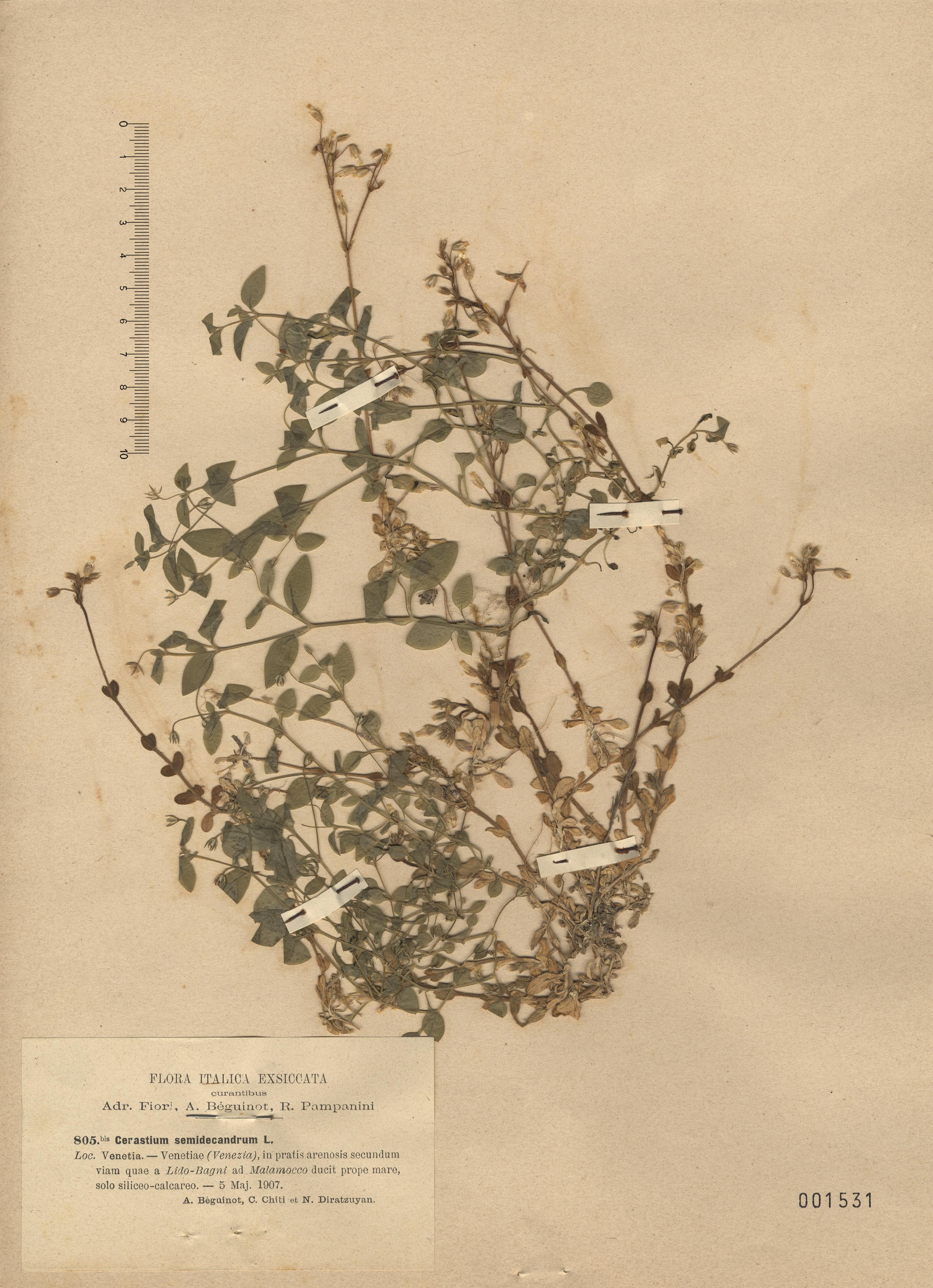 © Hortus Botanicus Catinensis - Herb. sheet 001531<br>