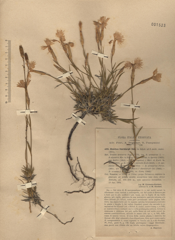 © Hortus Botanicus Catinensis - Herb. sheet 001523<br>
