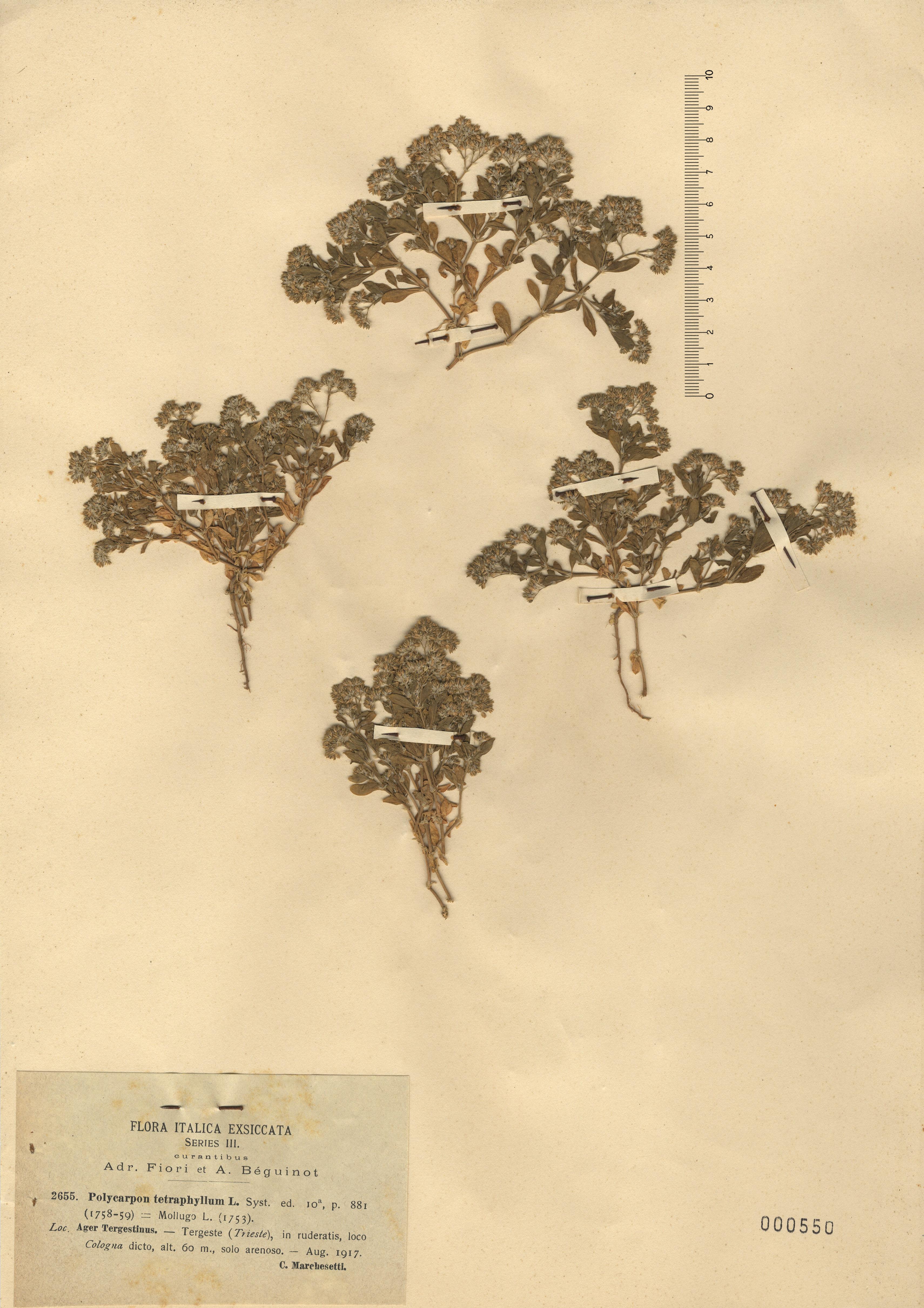 © Hortus Botanicus Catinensis - Herb. sheet 000550<br>
