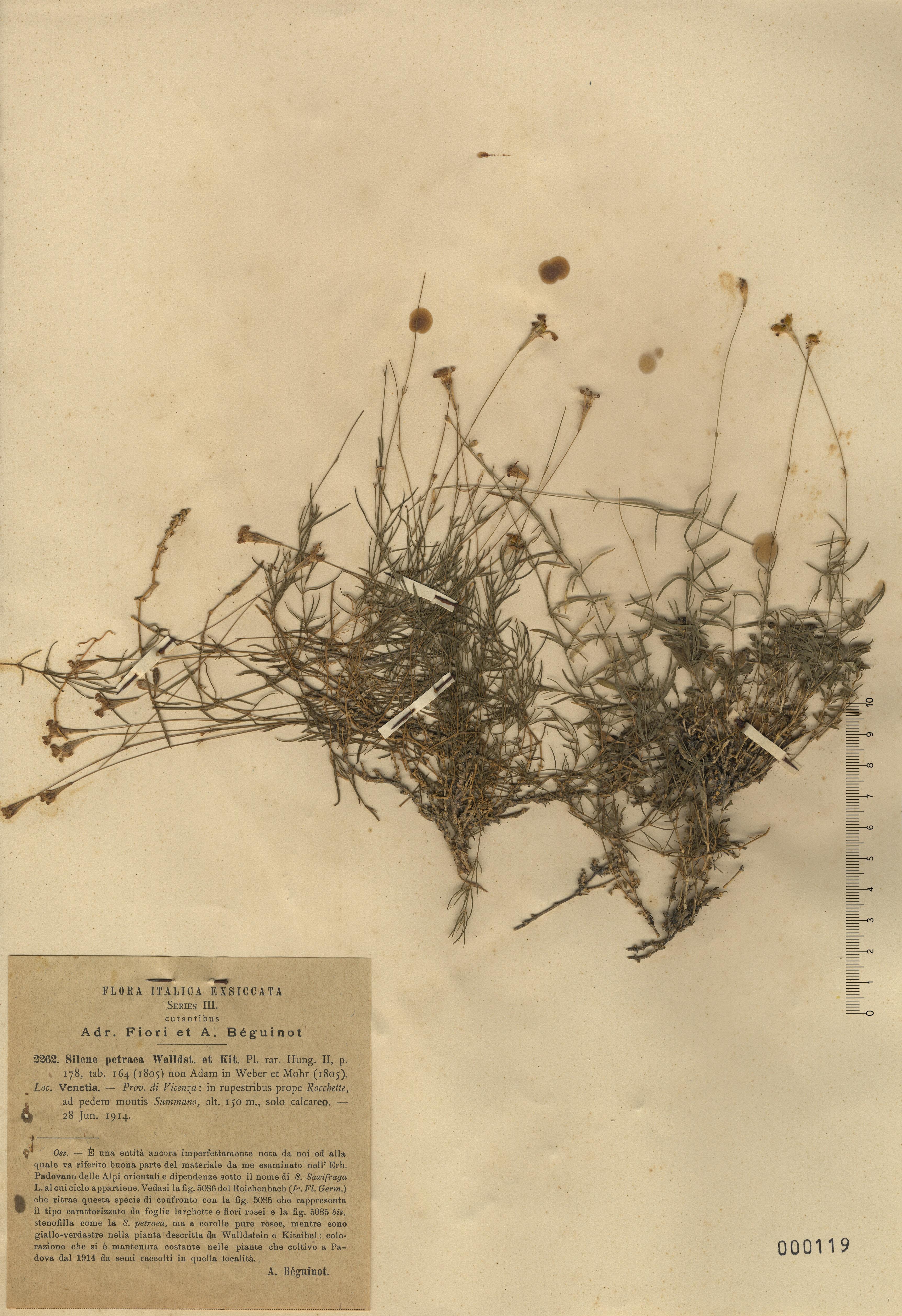 © Hortus Botanicus Catinensis - Herb. sheet 001119<br>