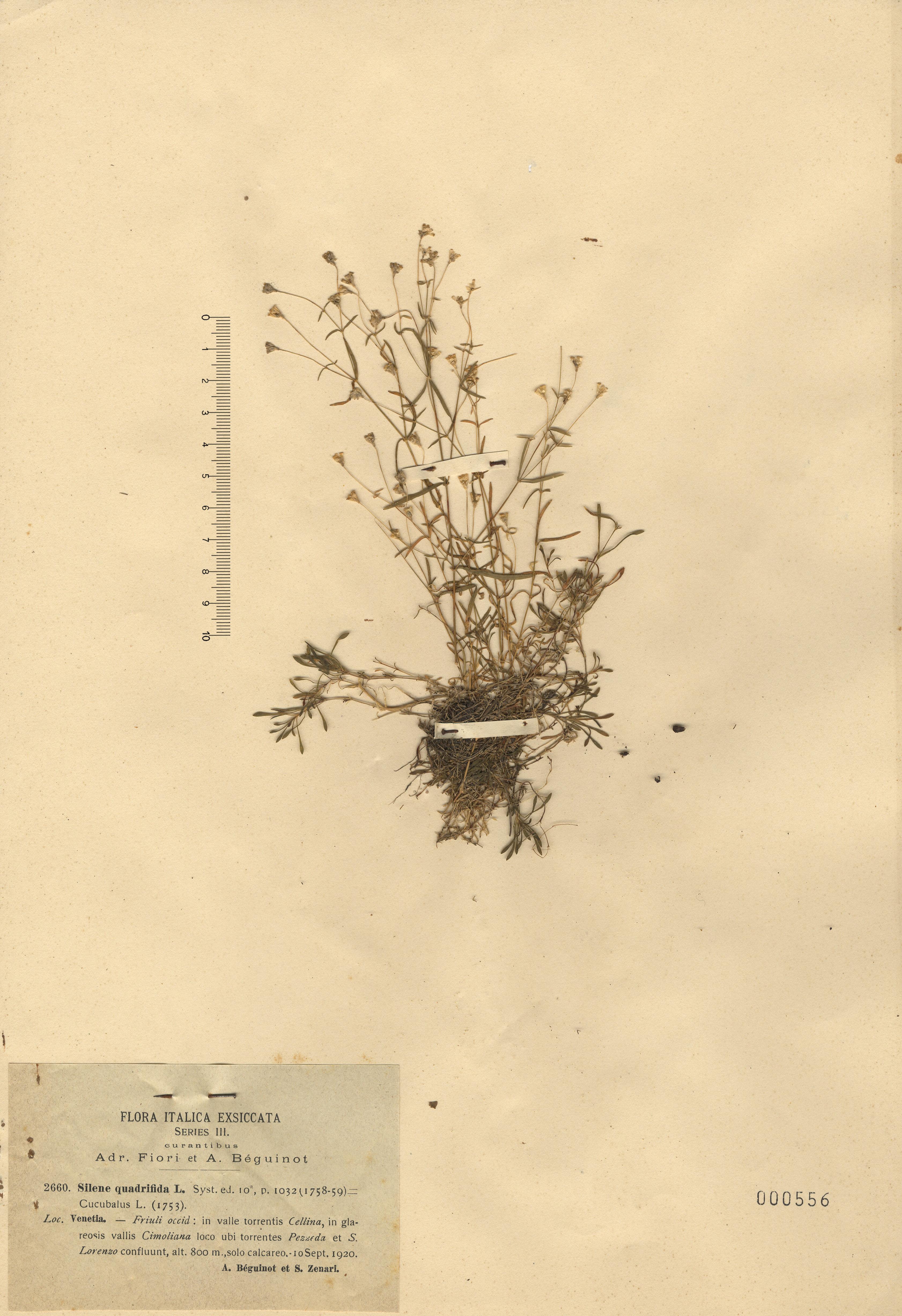 © Hortus Botanicus Catinensis - Herb. sheet 000556<br>