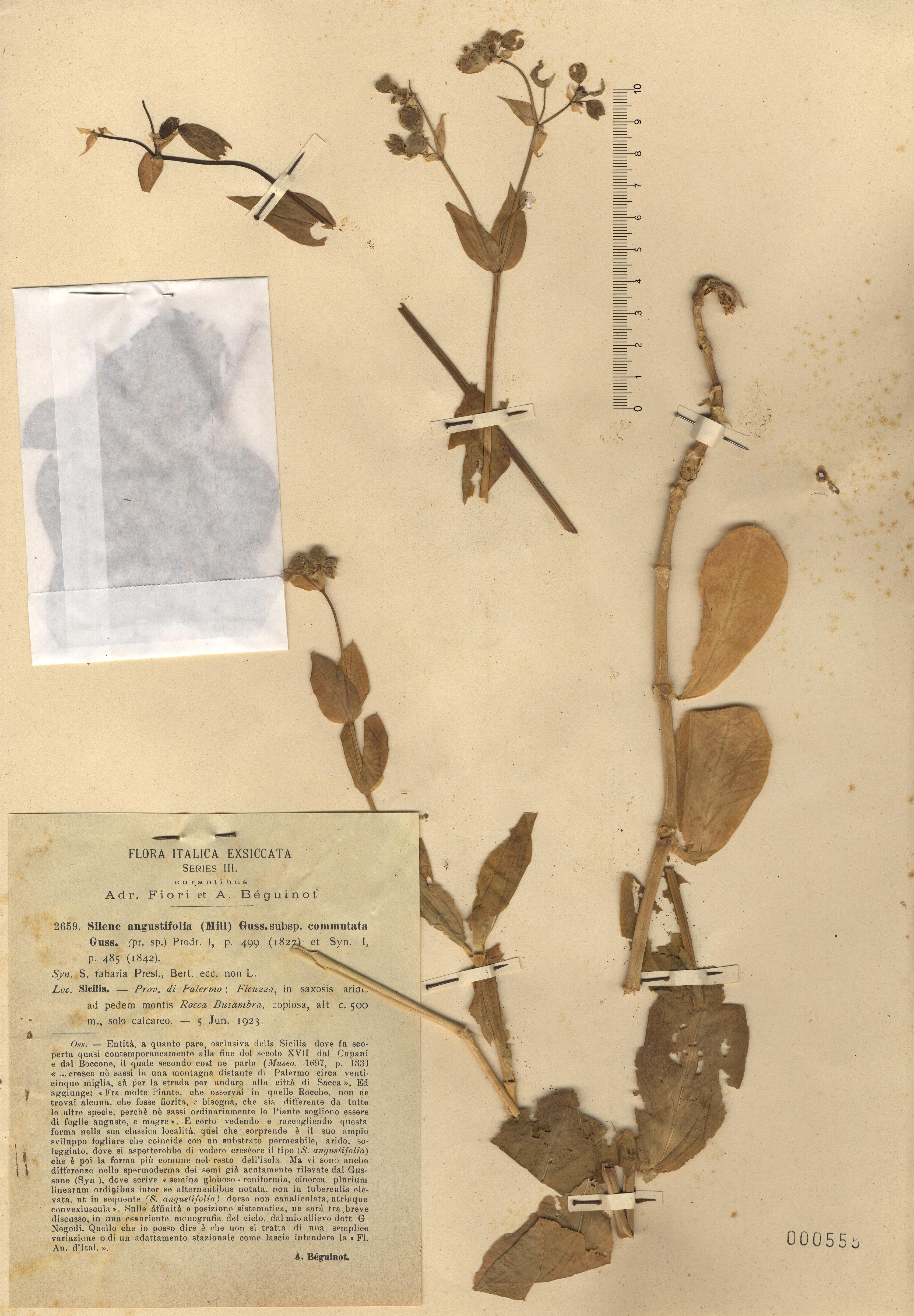 © Hortus Botanicus Catinensis - Herb. sheet 000555<br>