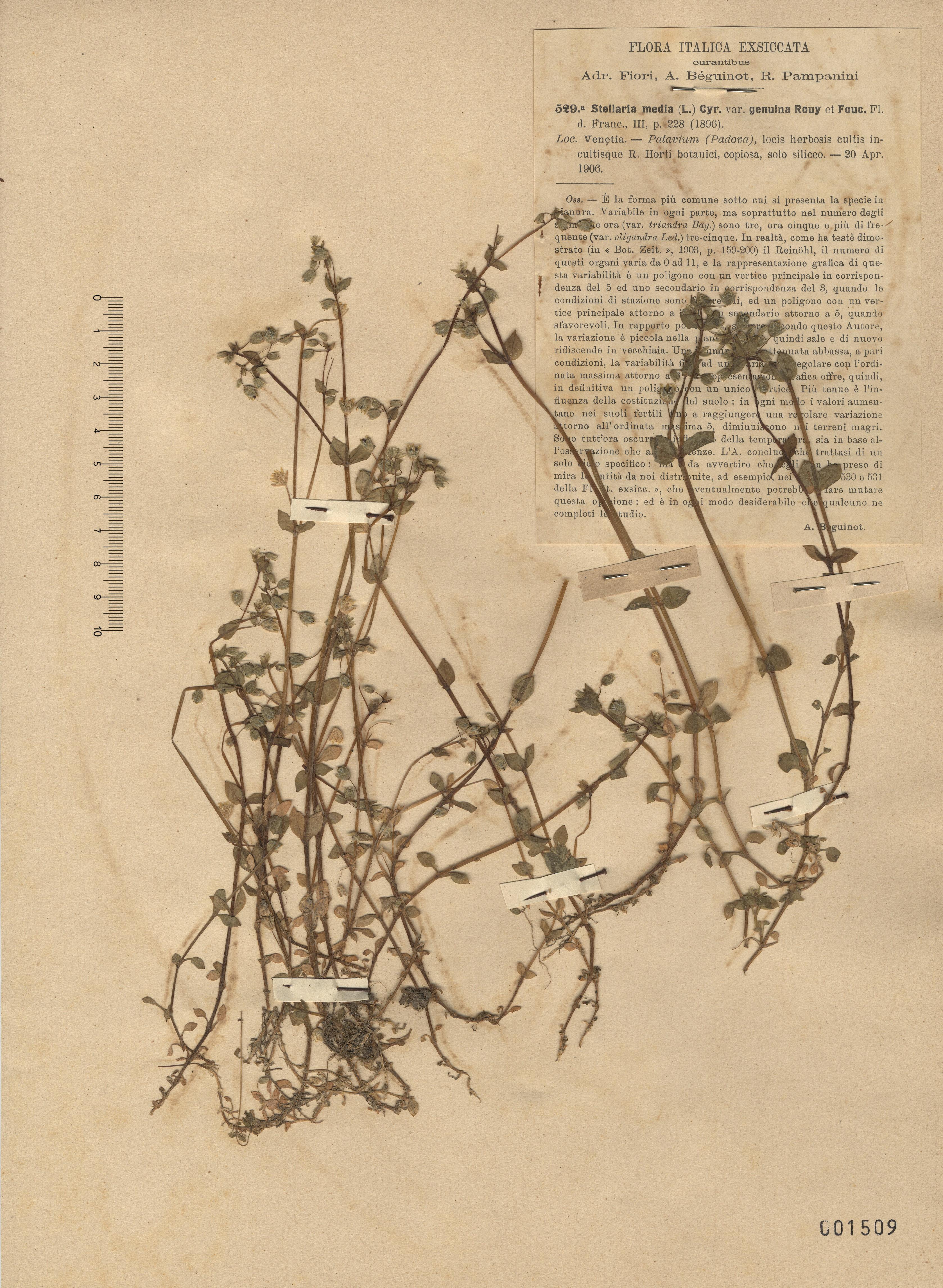 © Hortus Botanicus Catinensis - Herb. sheet 001509<br>