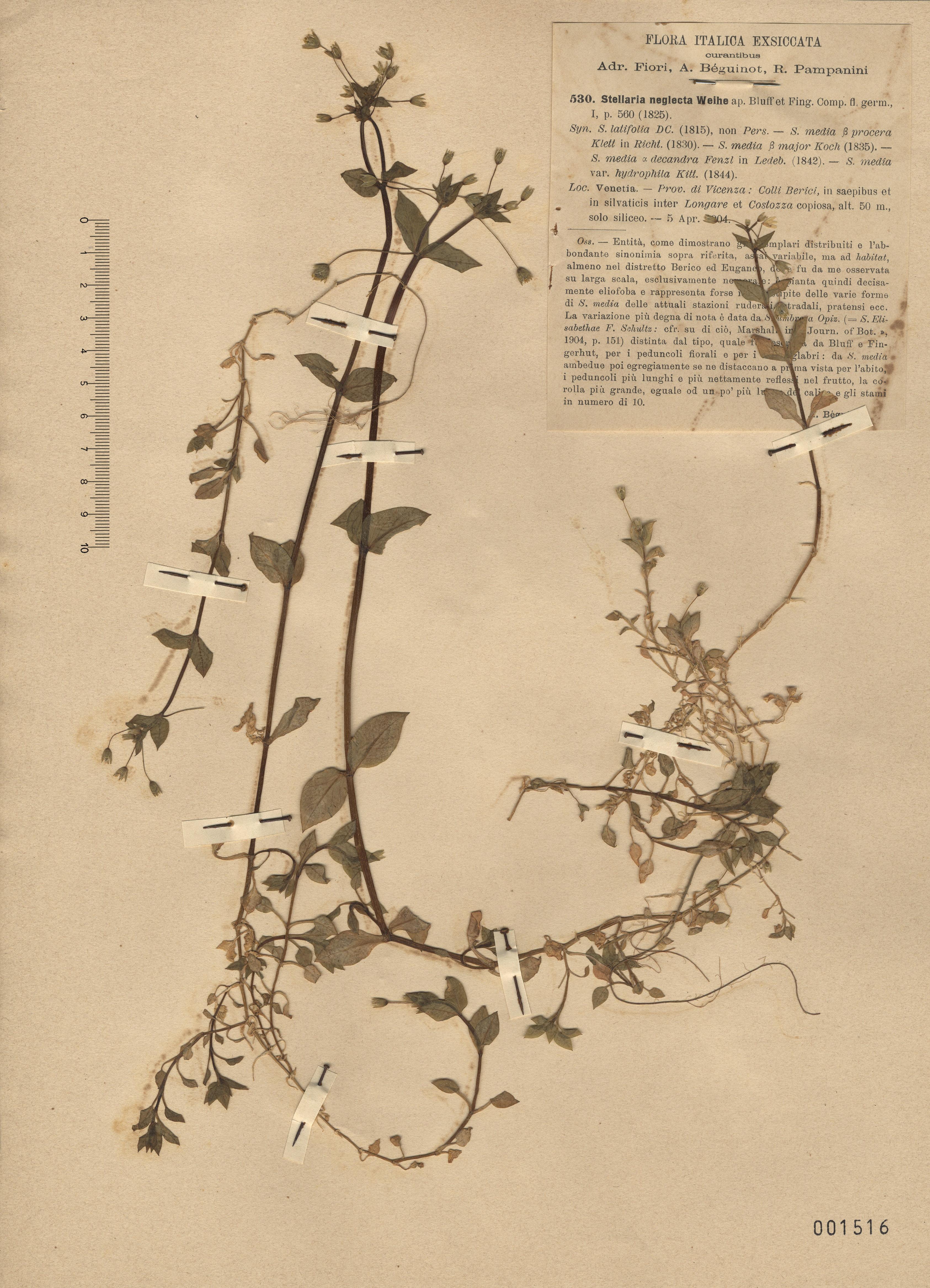 © Hortus Botanicus Catinensis - Herb. sheet 001516<br>