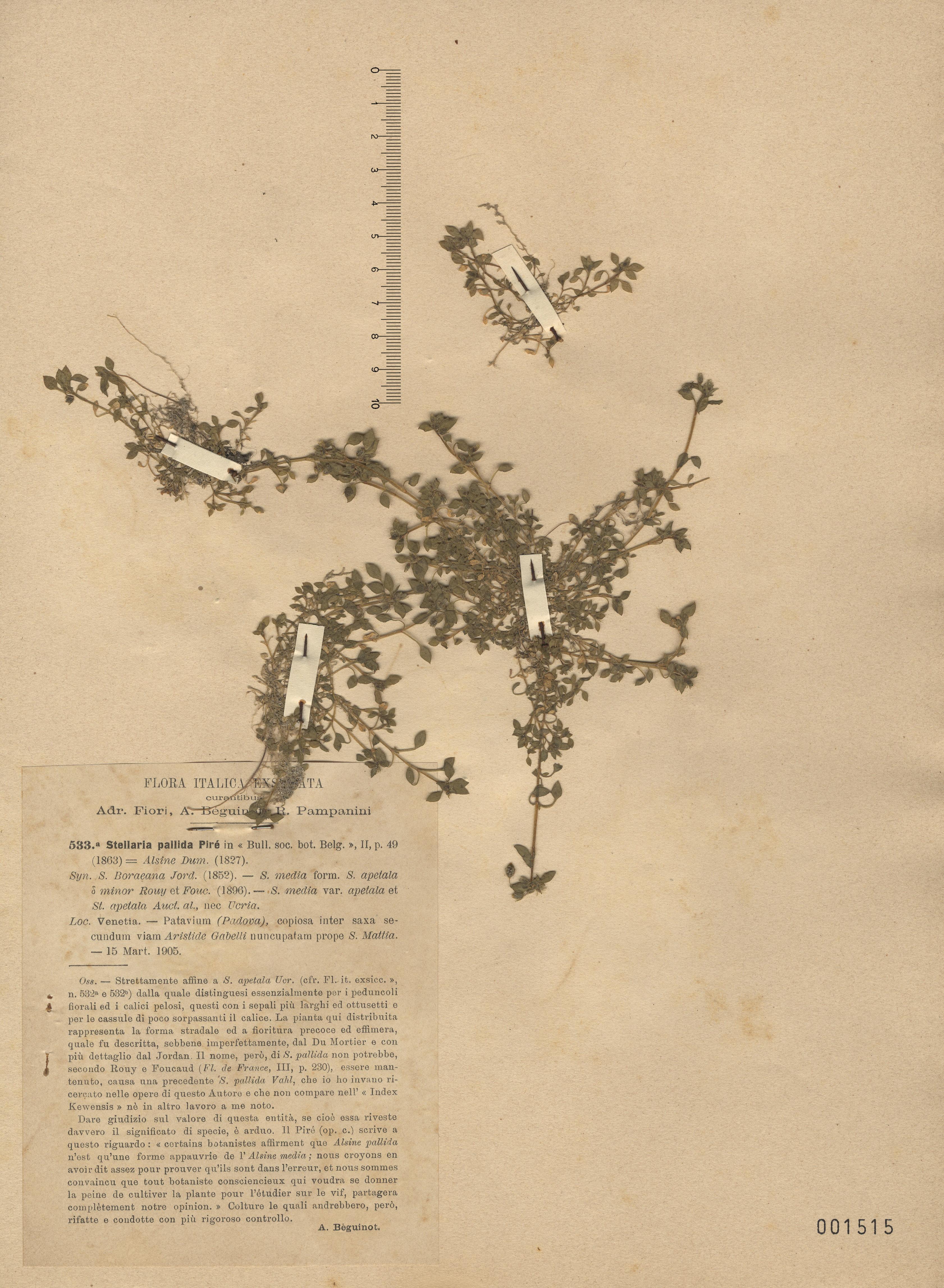 © Hortus Botanicus Catinensis - Herb. sheet 001515<br>