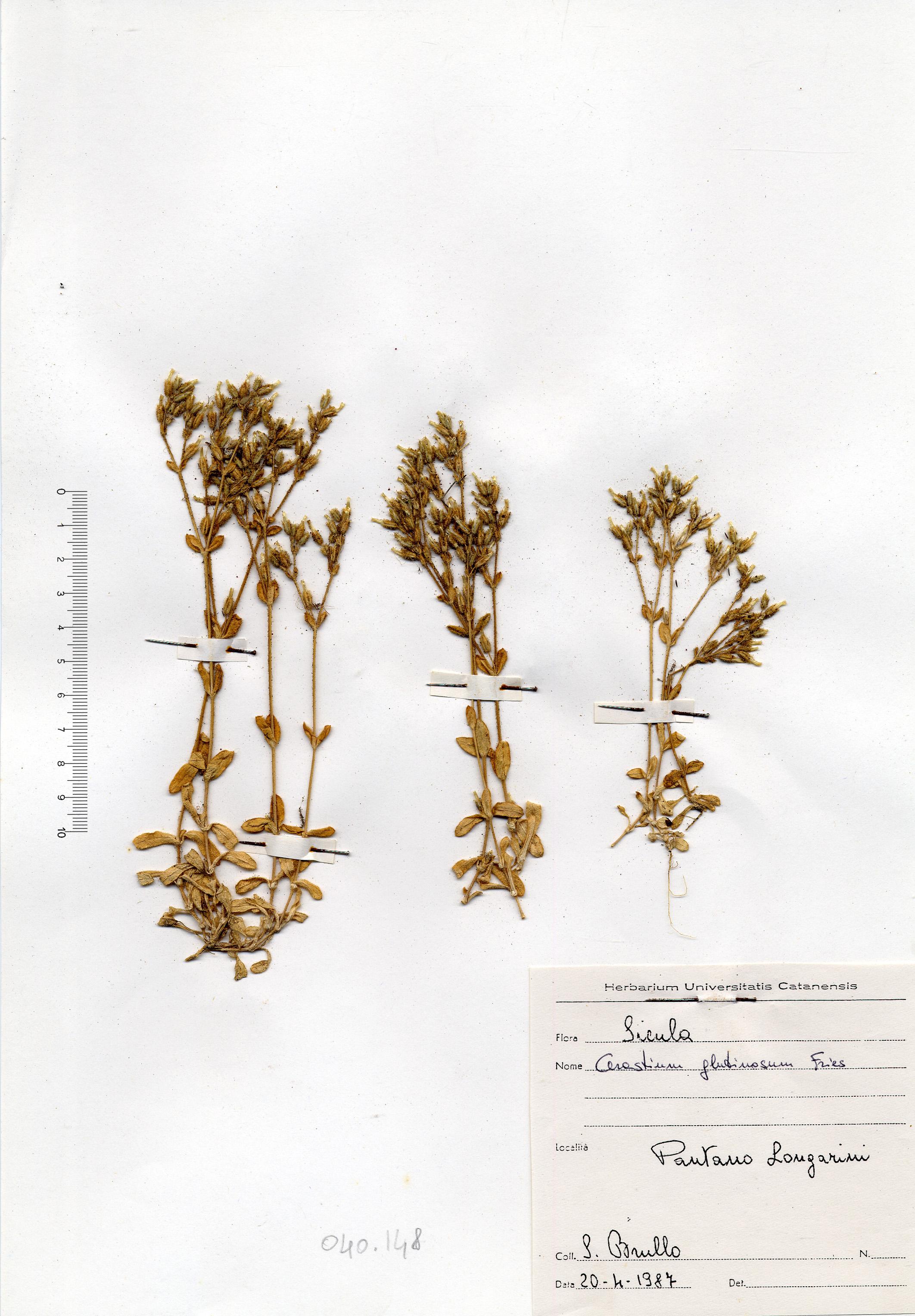 © Hortus Botanicus Catinensis - Herb. sheet 040148<br>