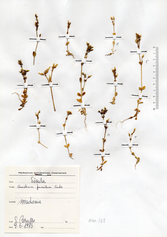 © Hortus Botanicus Catinensis - Herb. sheet 040168<br>