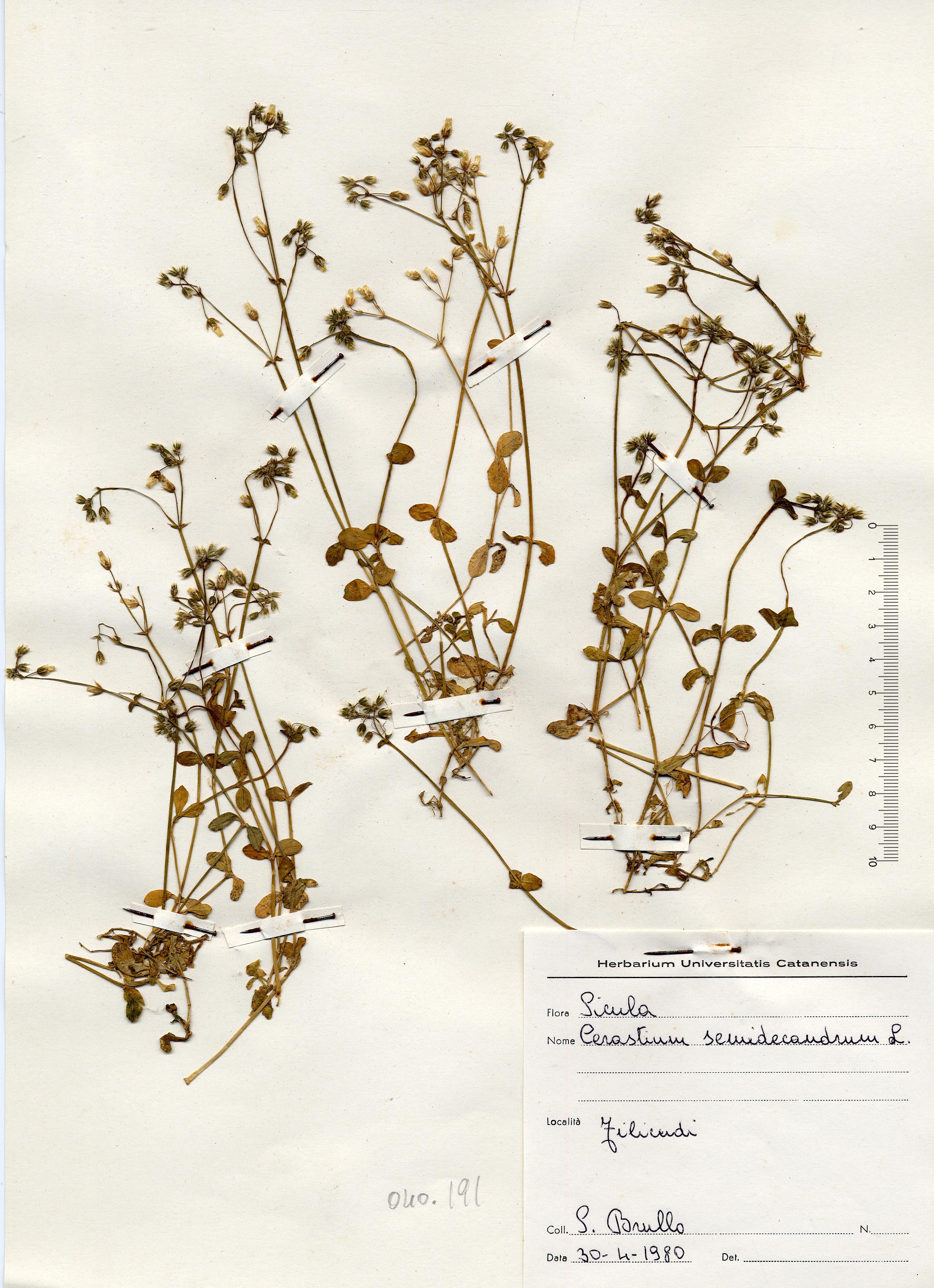 © Hortus Botanicus Catinensis - Herb. sheet 040191<br>