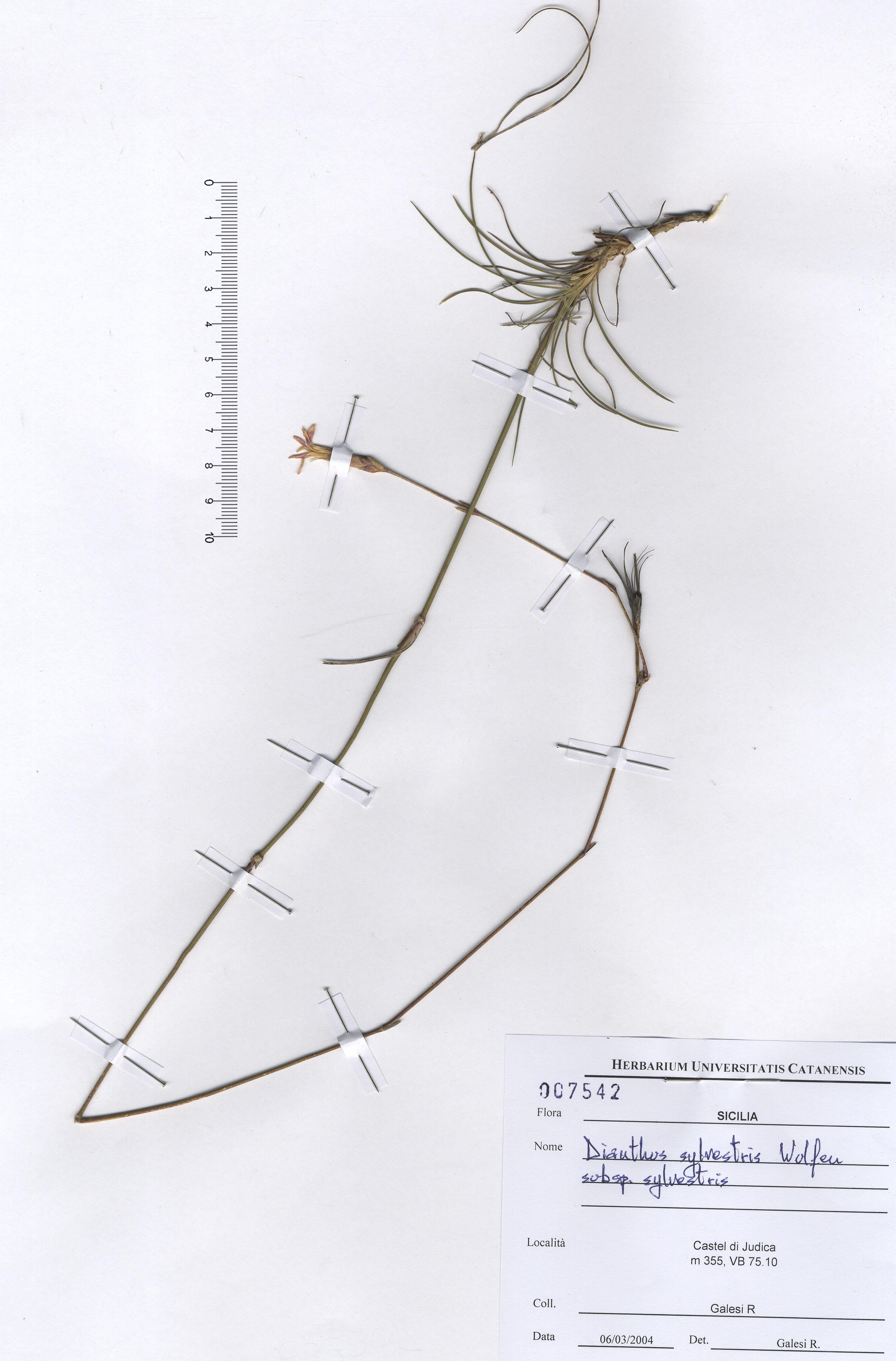 © Hortus Botanicus Catinensis - Herb. sheet 007542<br>