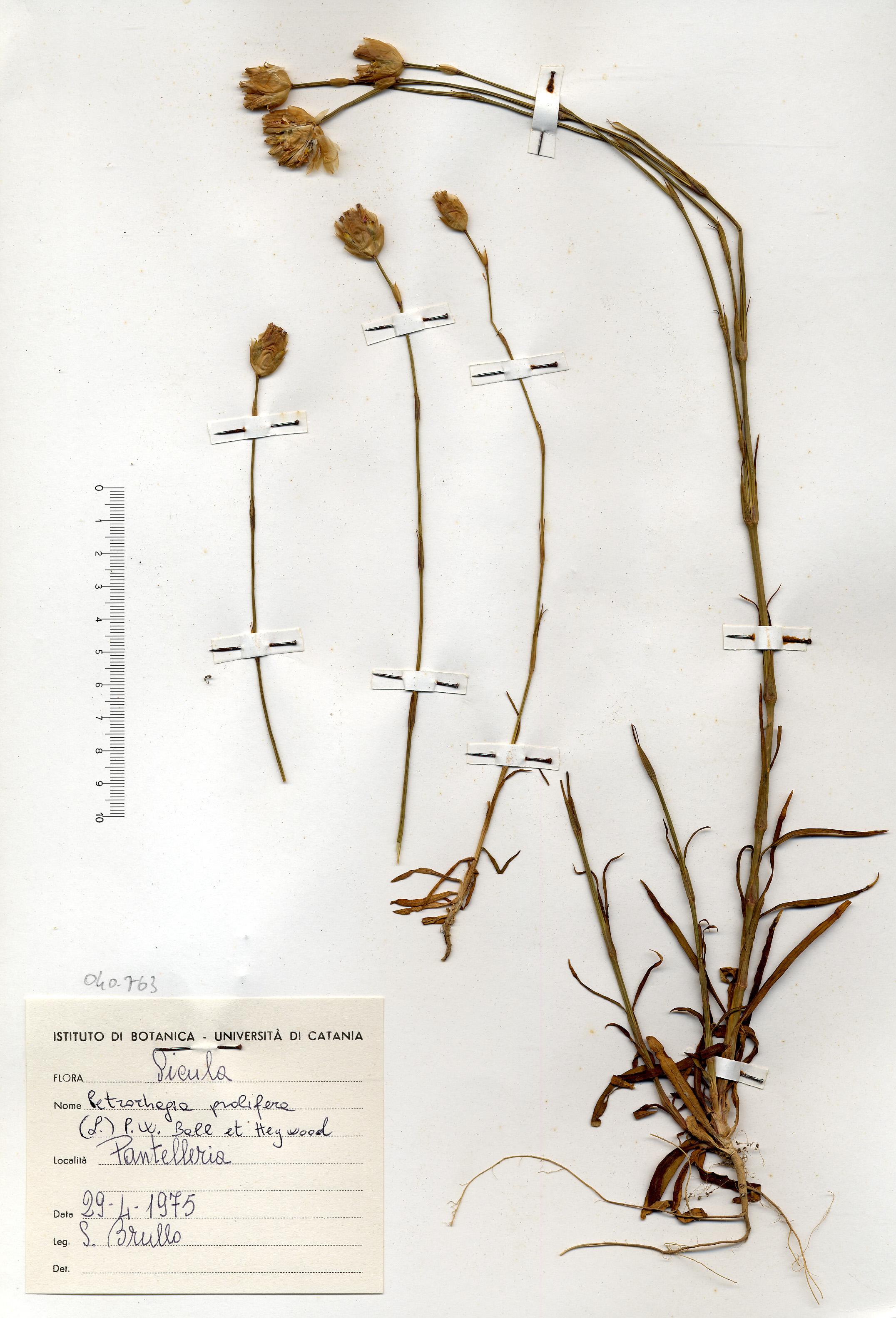 © Hortus Botanicus Catinensis - Herb. sheet 040763<br>