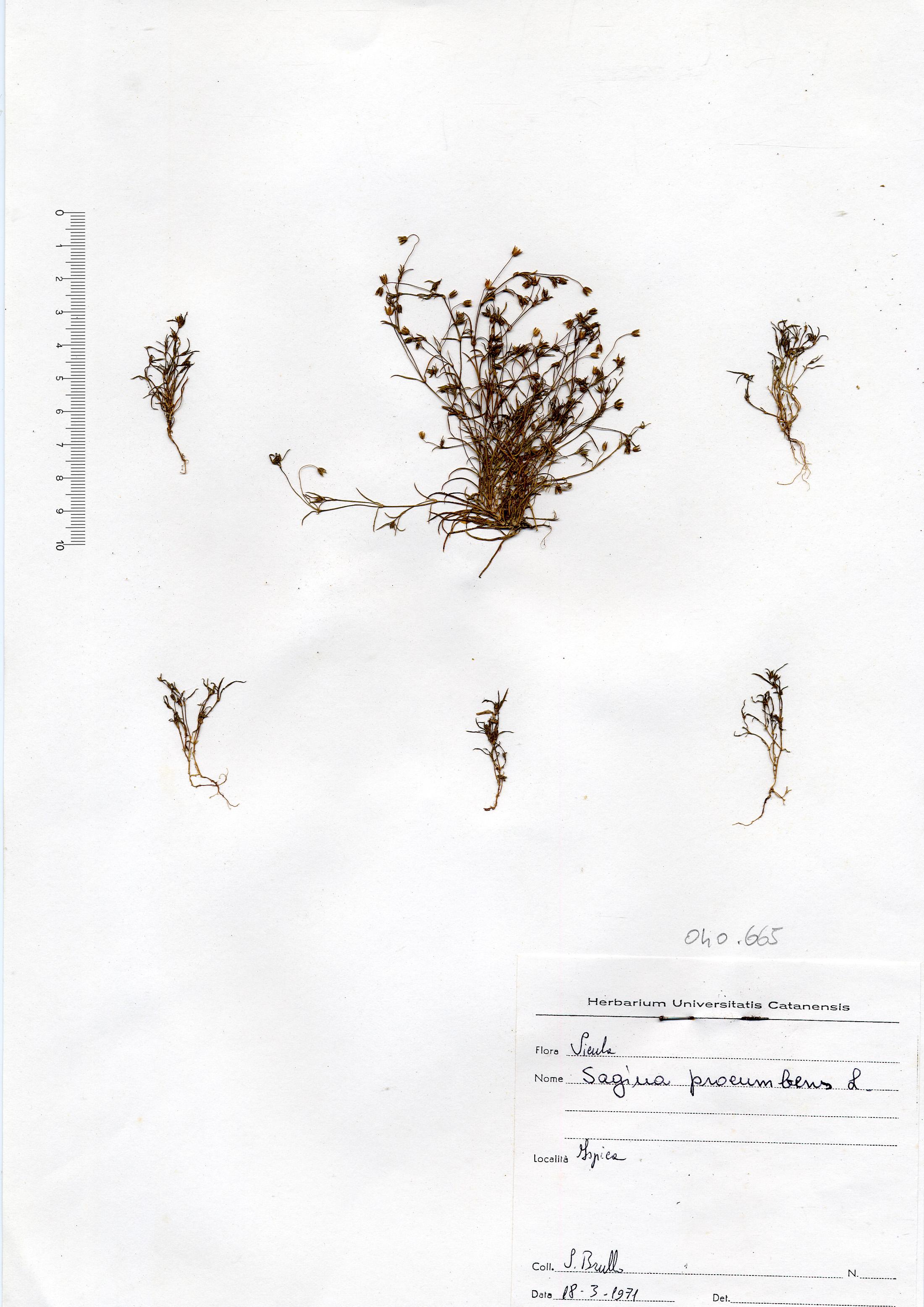 © Hortus Botanicus Catinensis - Herb. sheet 040665<br>