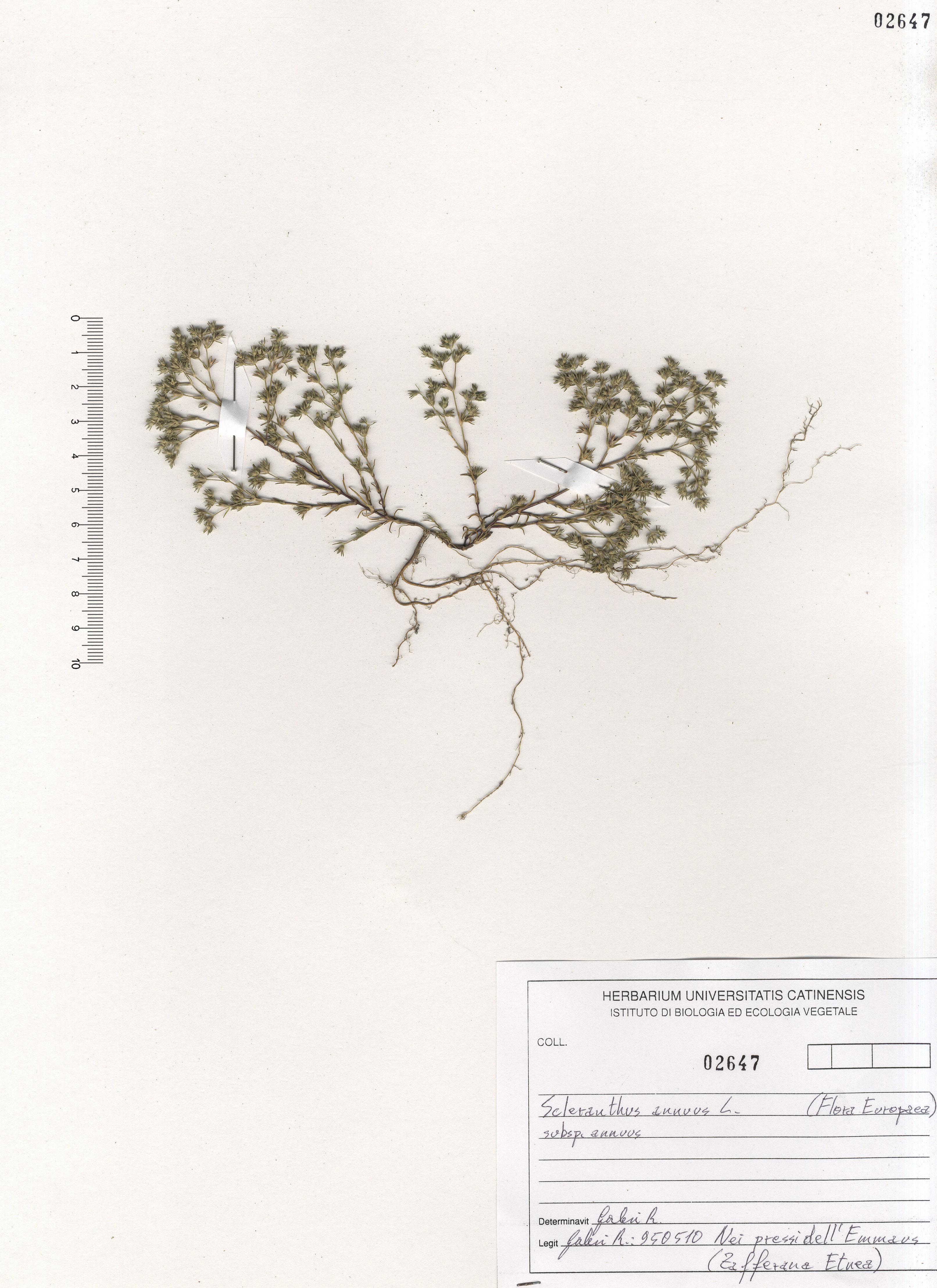 © Hortus Botanicus Catinensis - Herb. sheet 102647<br>