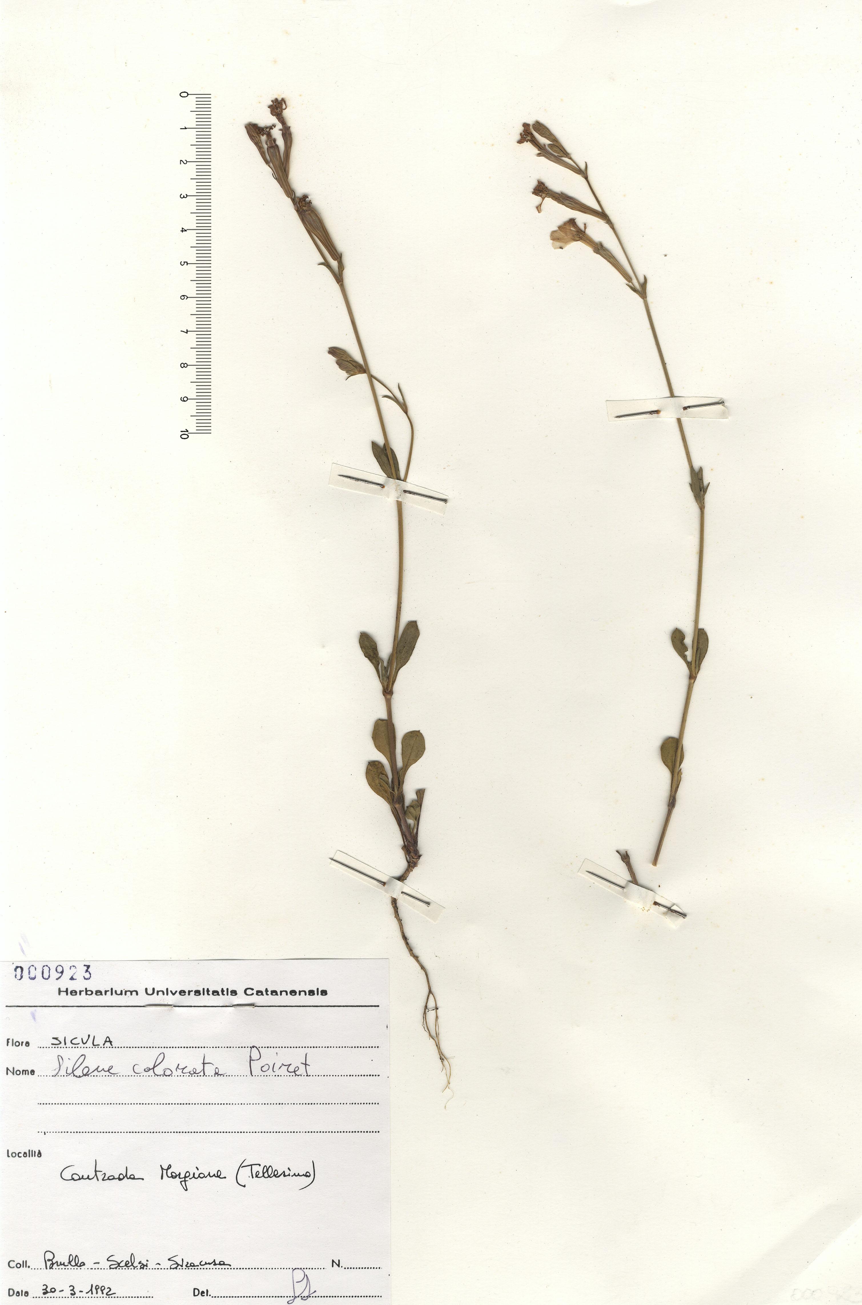 © Hortus Botanicus Catinensis - Herb. sheet 000923<br>