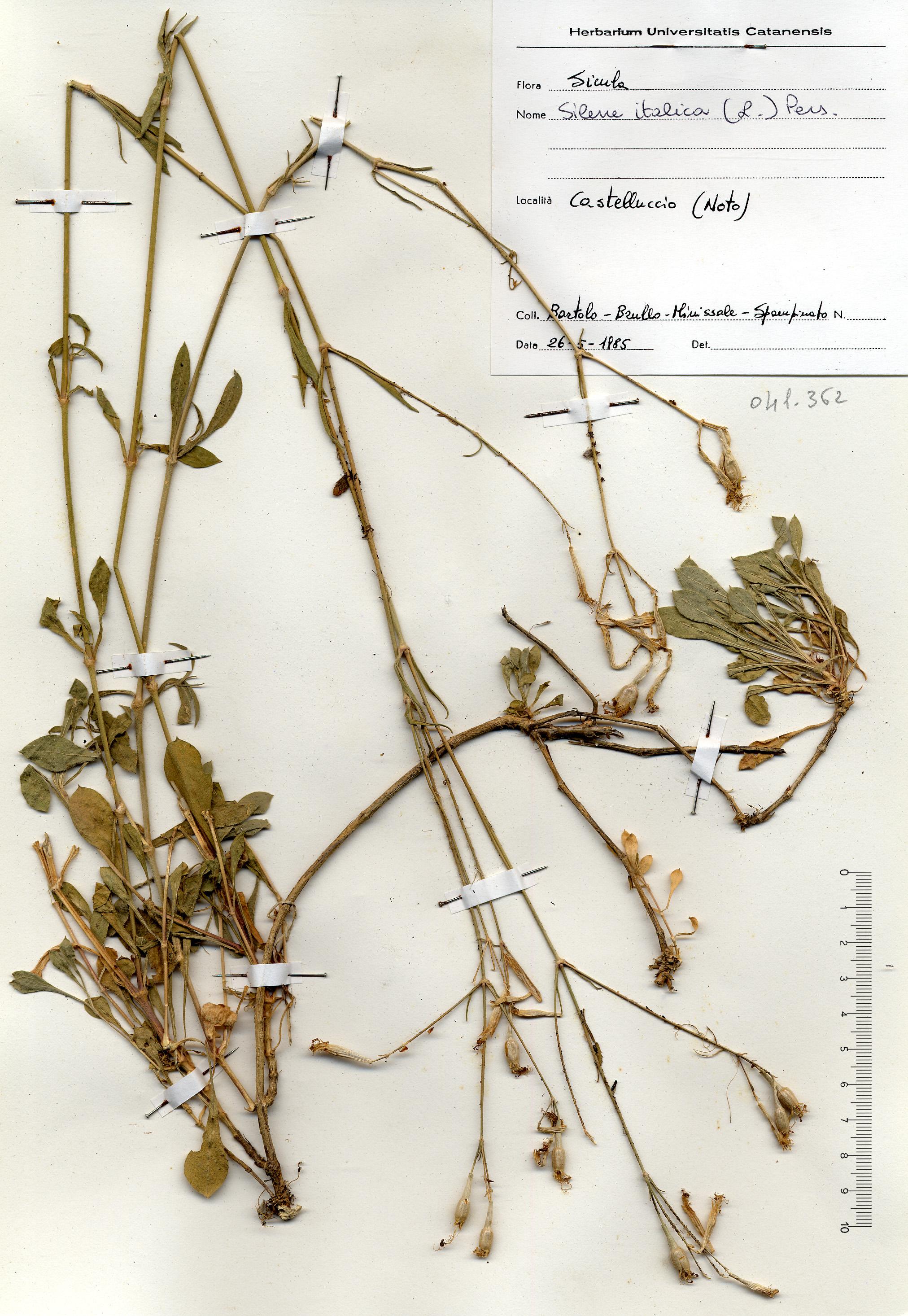 © Hortus Botanicus Catinensis - Herb. sheet 041362<br>