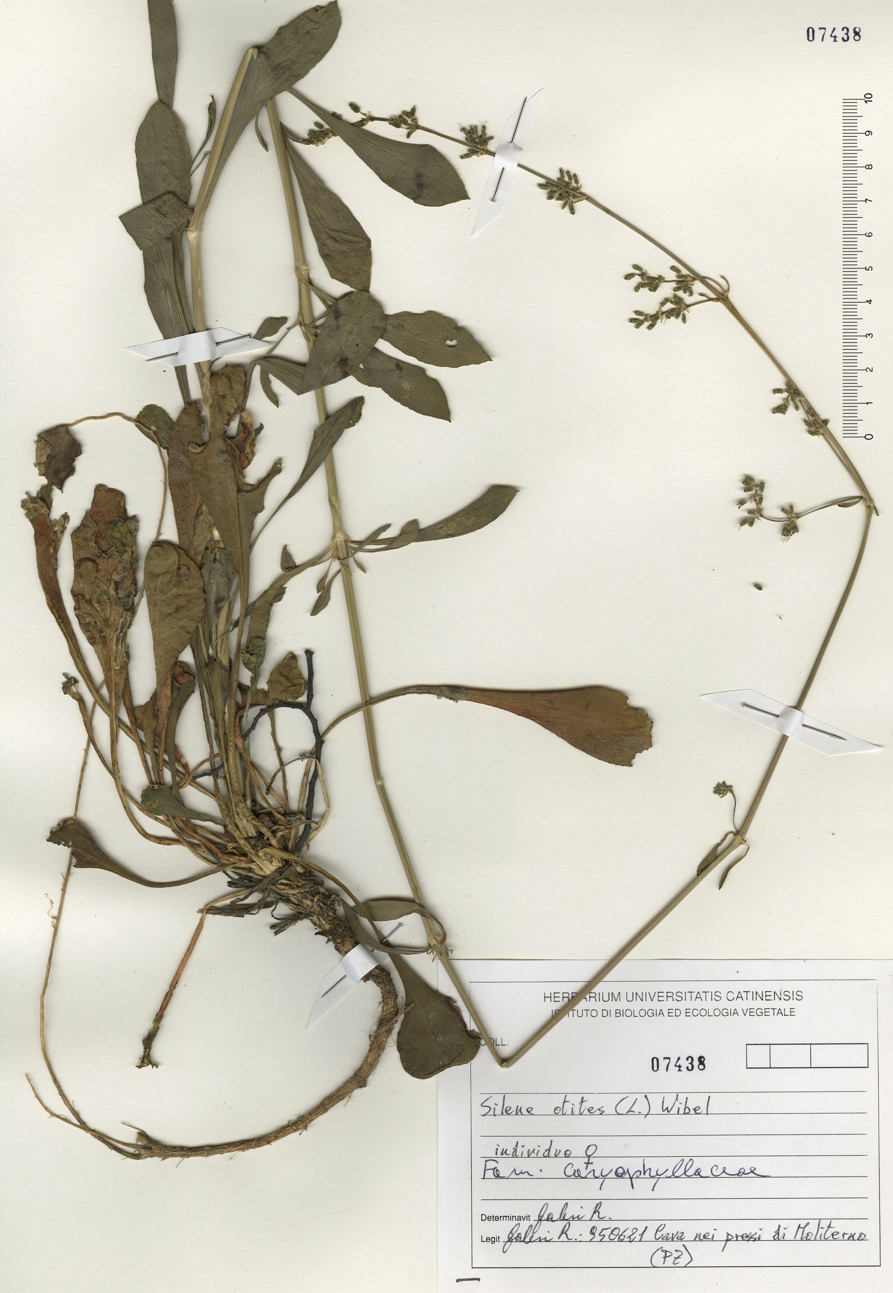 © Hortus Botanicus Catinensis - Herb. sheet 107438<br>