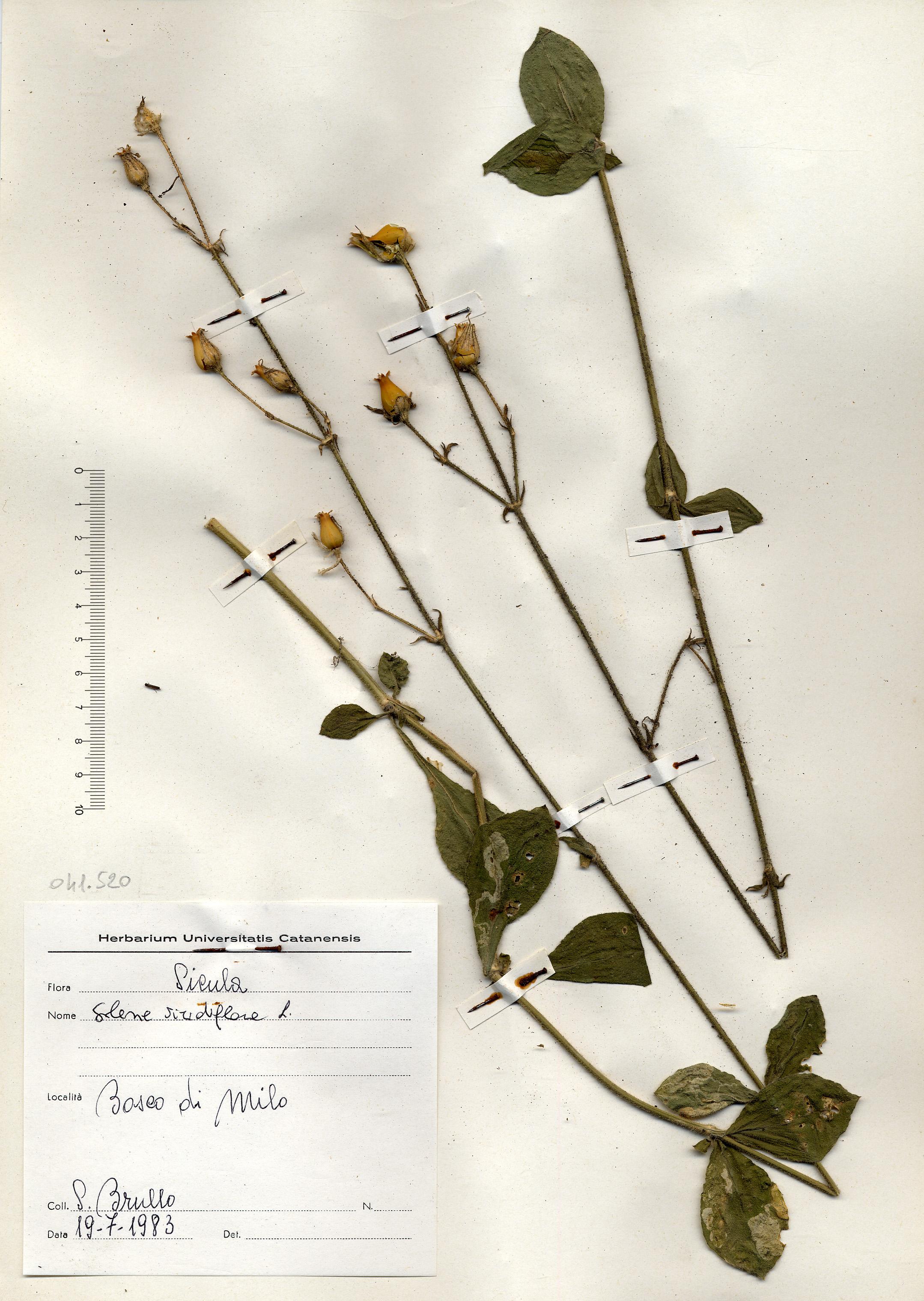 © Hortus Botanicus Catinensis - Herb. sheet 041520<br>