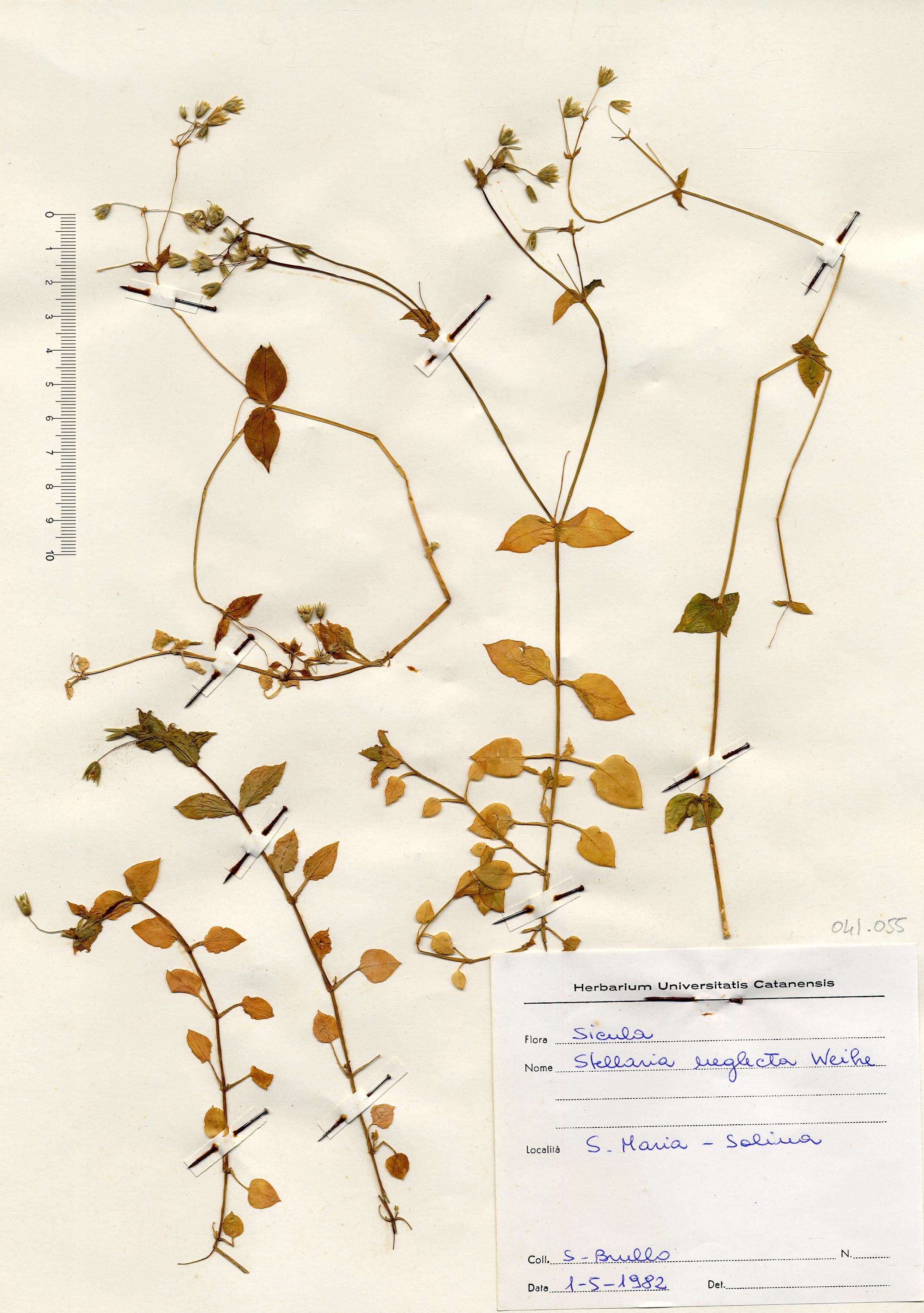 © Hortus Botanicus Catinensis - Herb. sheet 041055<br>