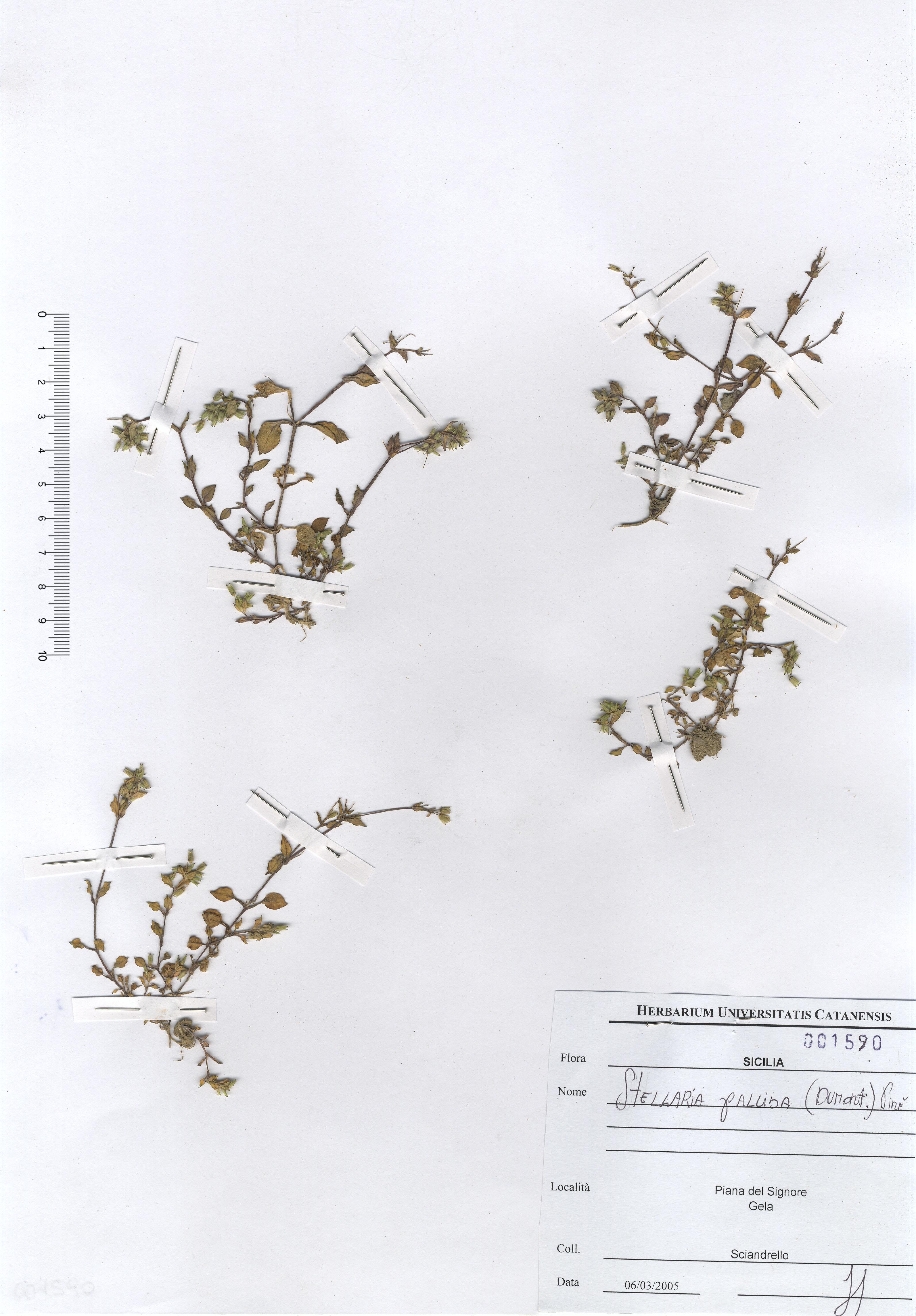 © Hortus Botanicus Catinensis - Herb. sheet 001590<br>