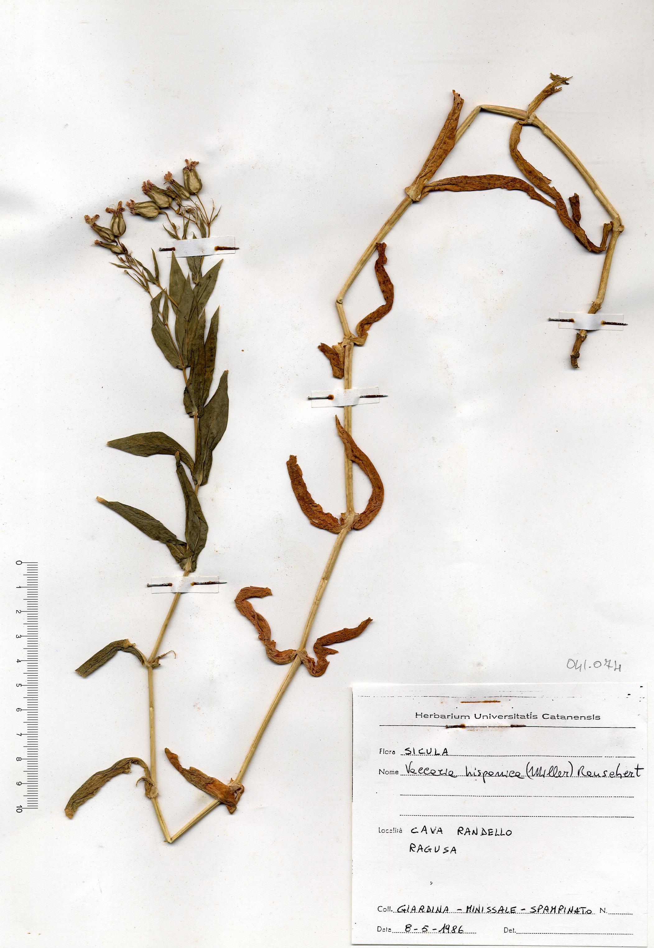© Hortus Botanicus Catinensis - Herb. sheet 041074<br>