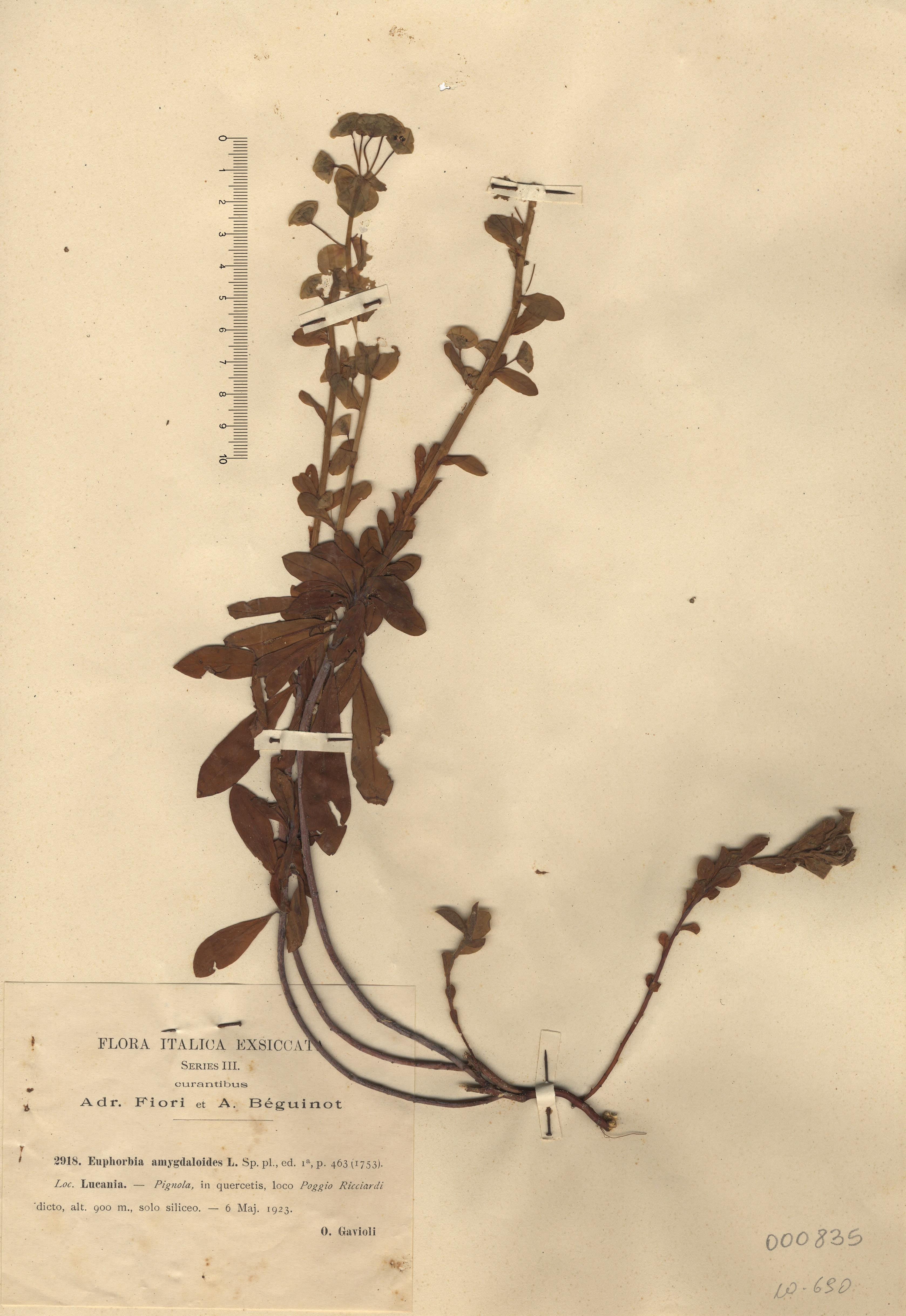 © Hortus Botanicus Catinens - Herb. shhet 000835<br>
