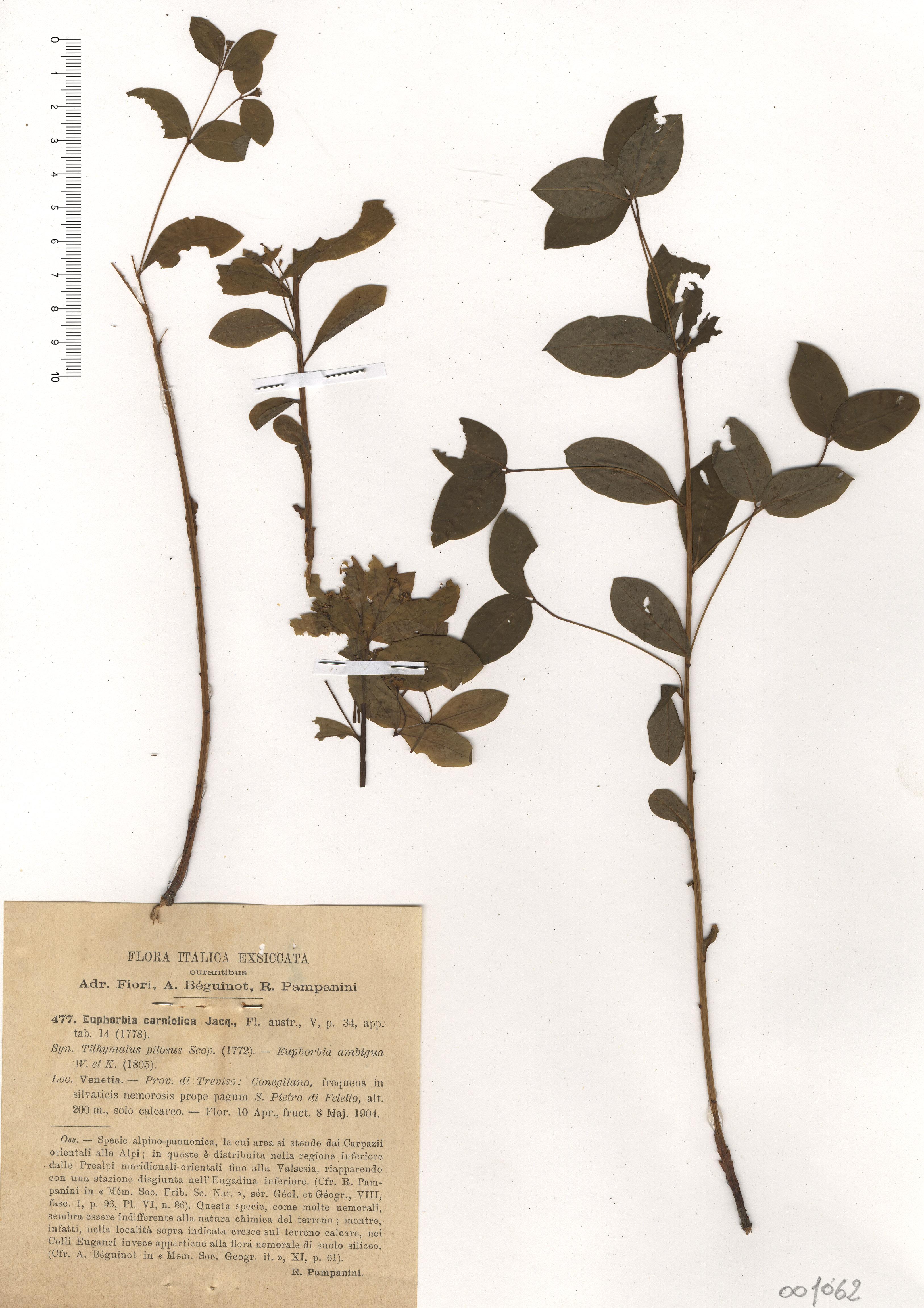 © Hortus Botanicus Catinens - Herb. shhet 001062<br>