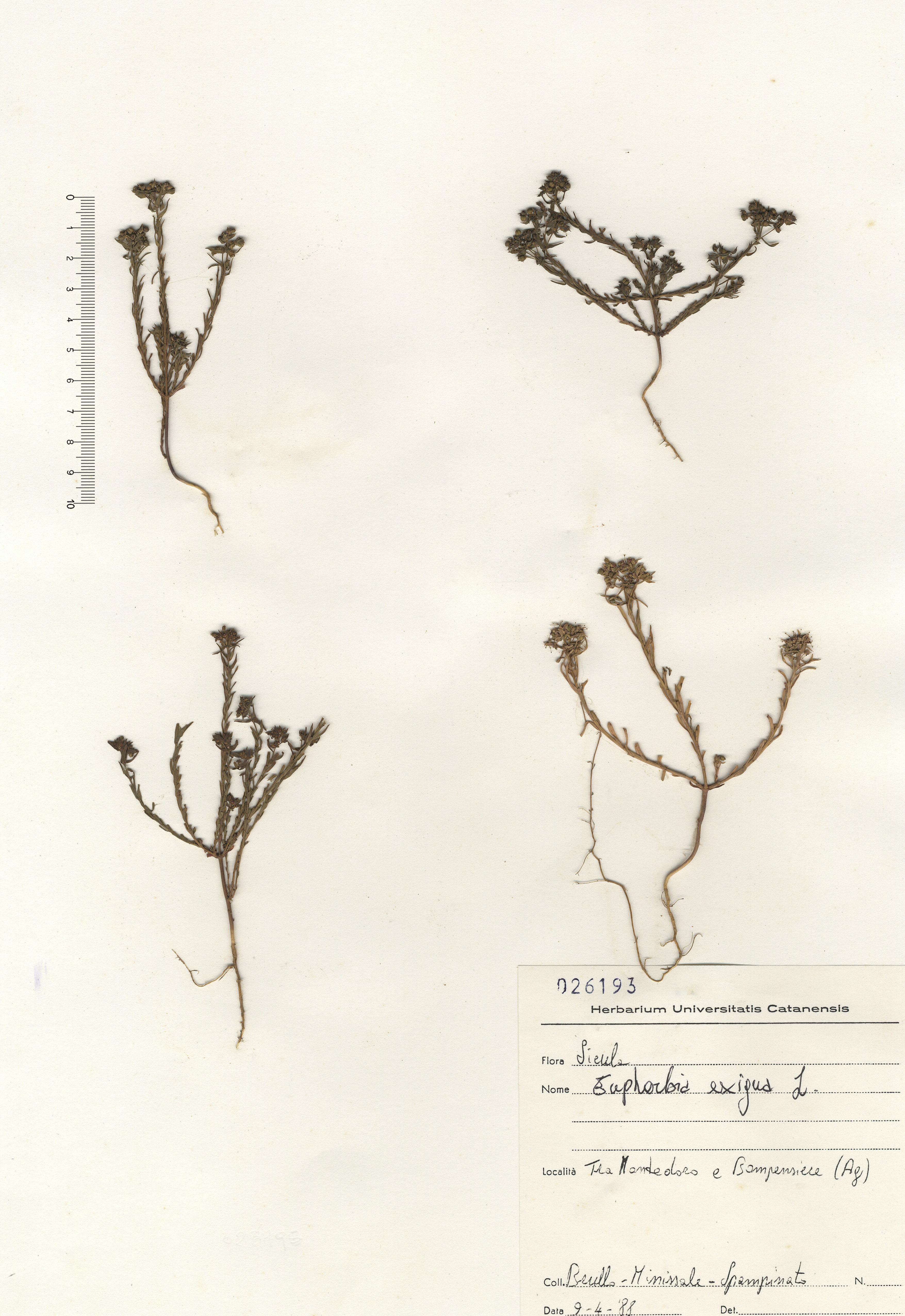 © Hortus Botanicus Catinens - Herb. shhet 026193<br>