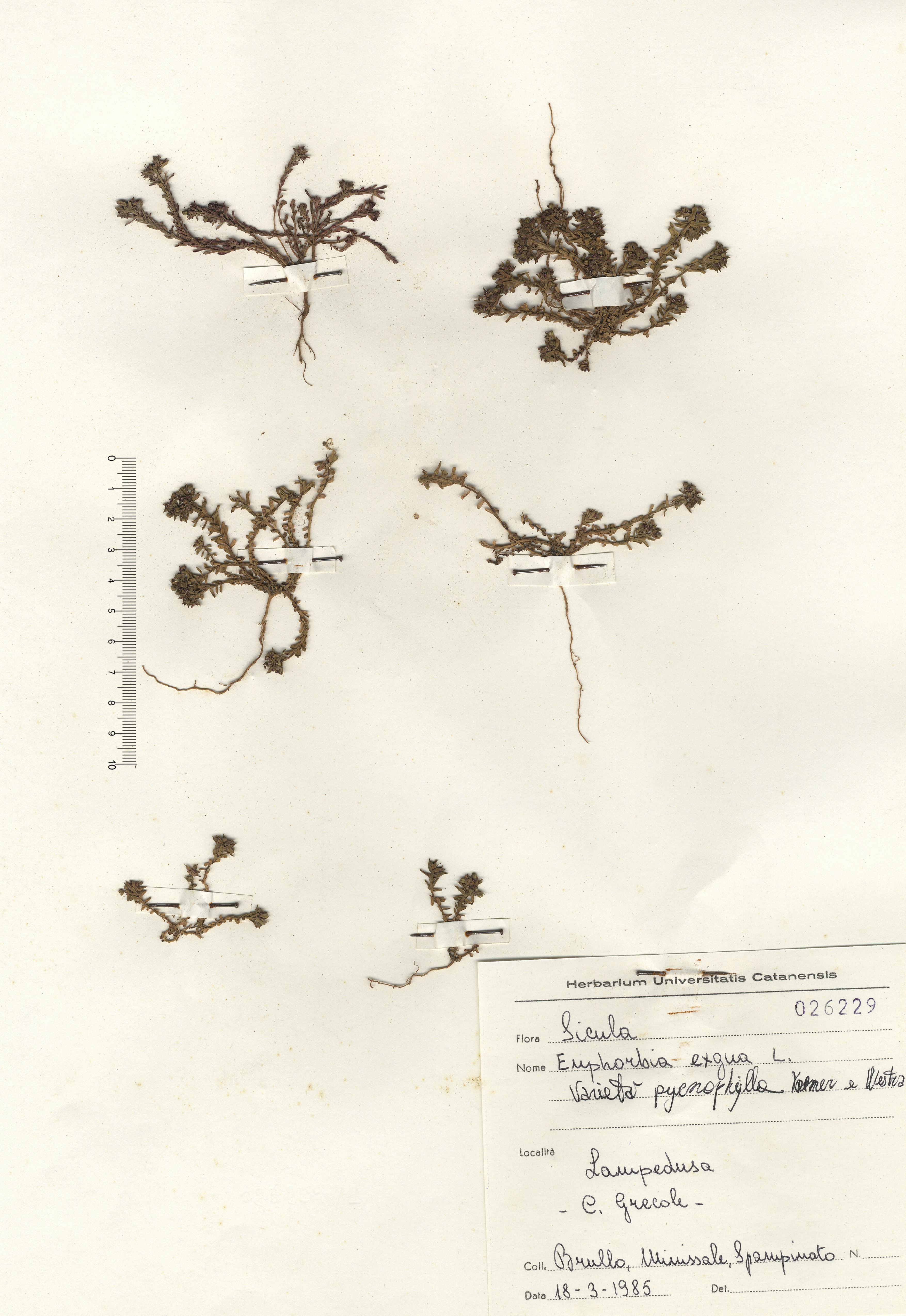 © Hortus Botanicus Catinens - Herb. shhet 026229<br>