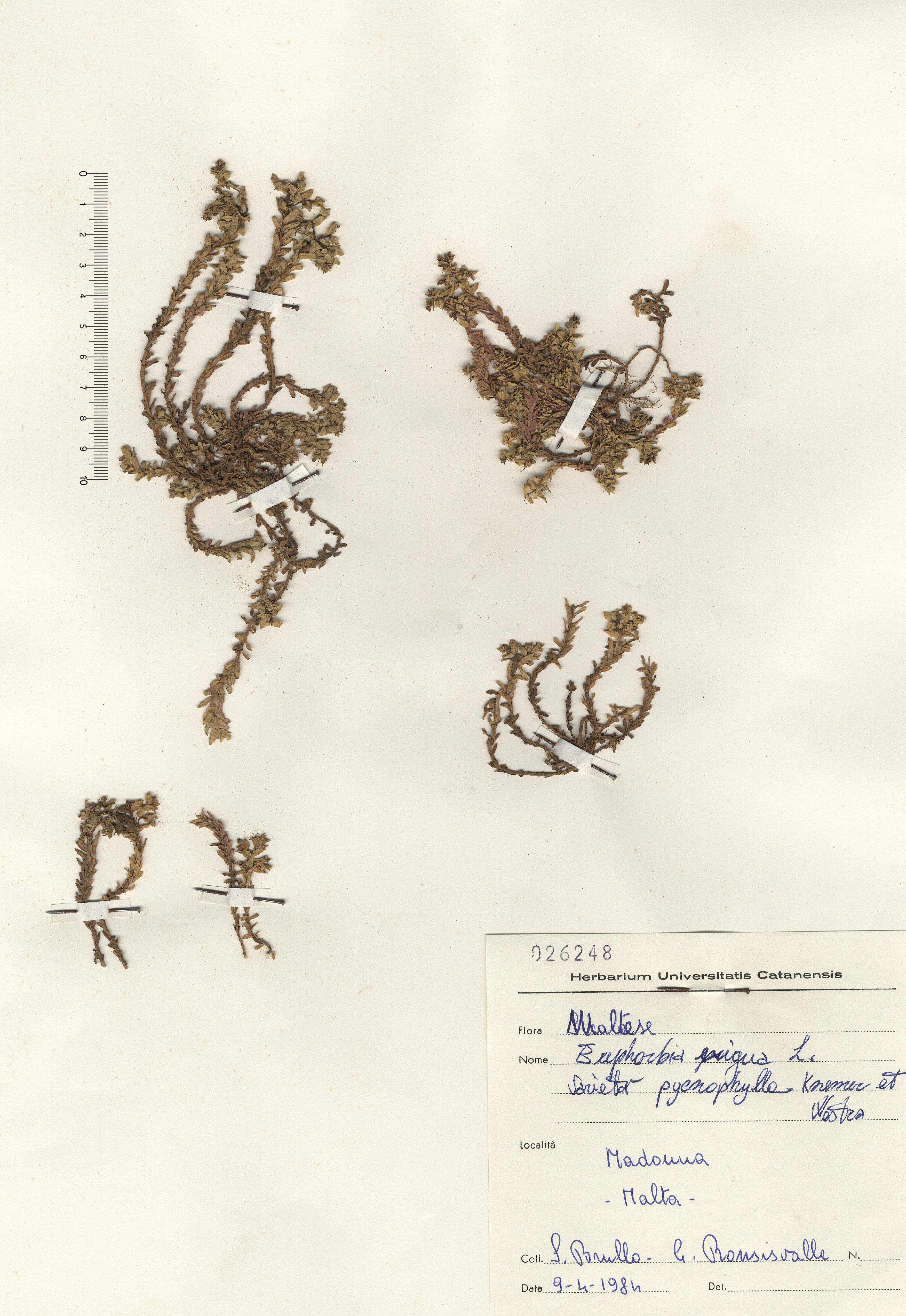 © Hortus Botanicus Catinens - Herb. shhet 026248<br>
