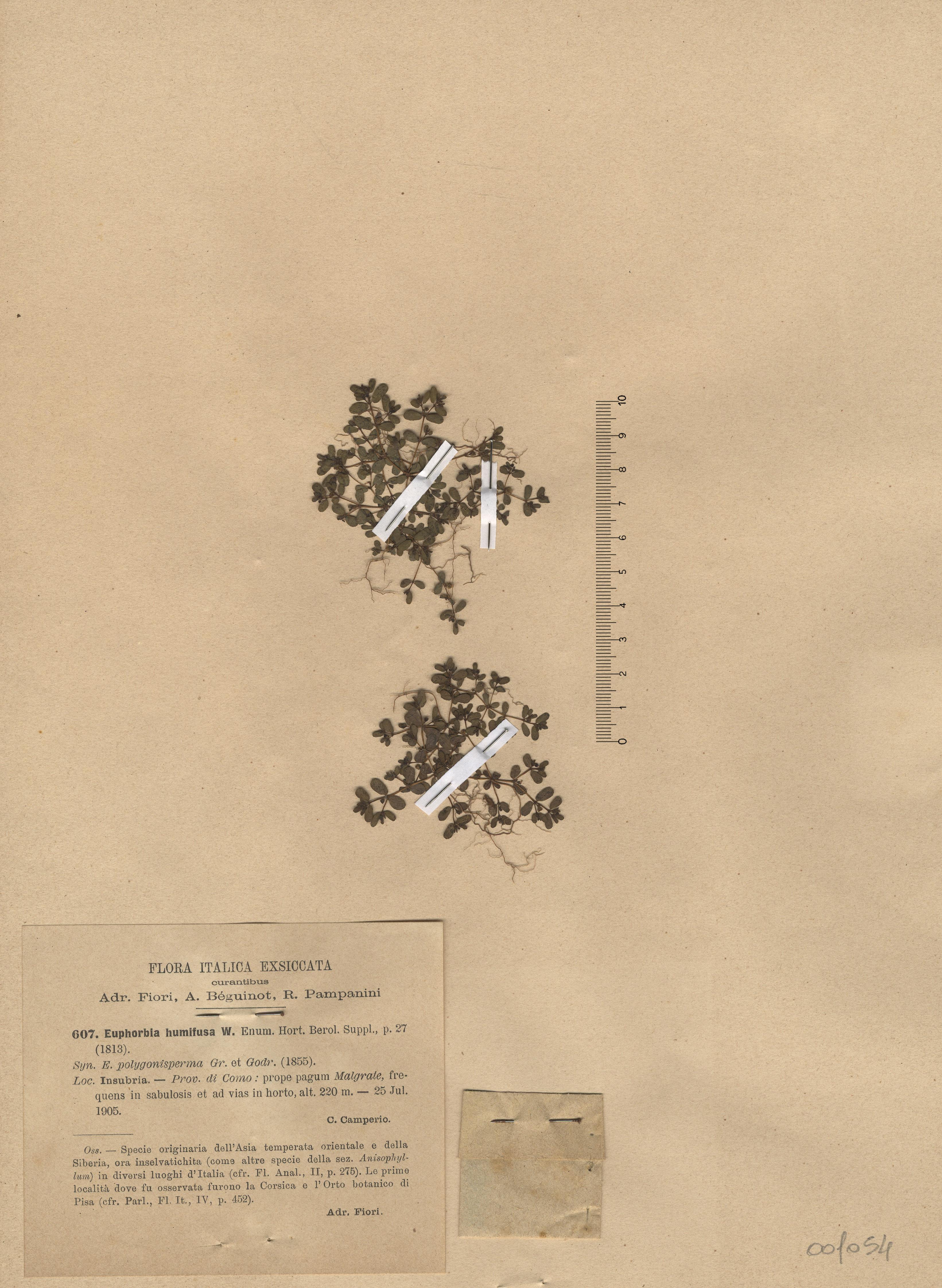 © Hortus Botanicus Catinens - Herb. sheet 001054<br>