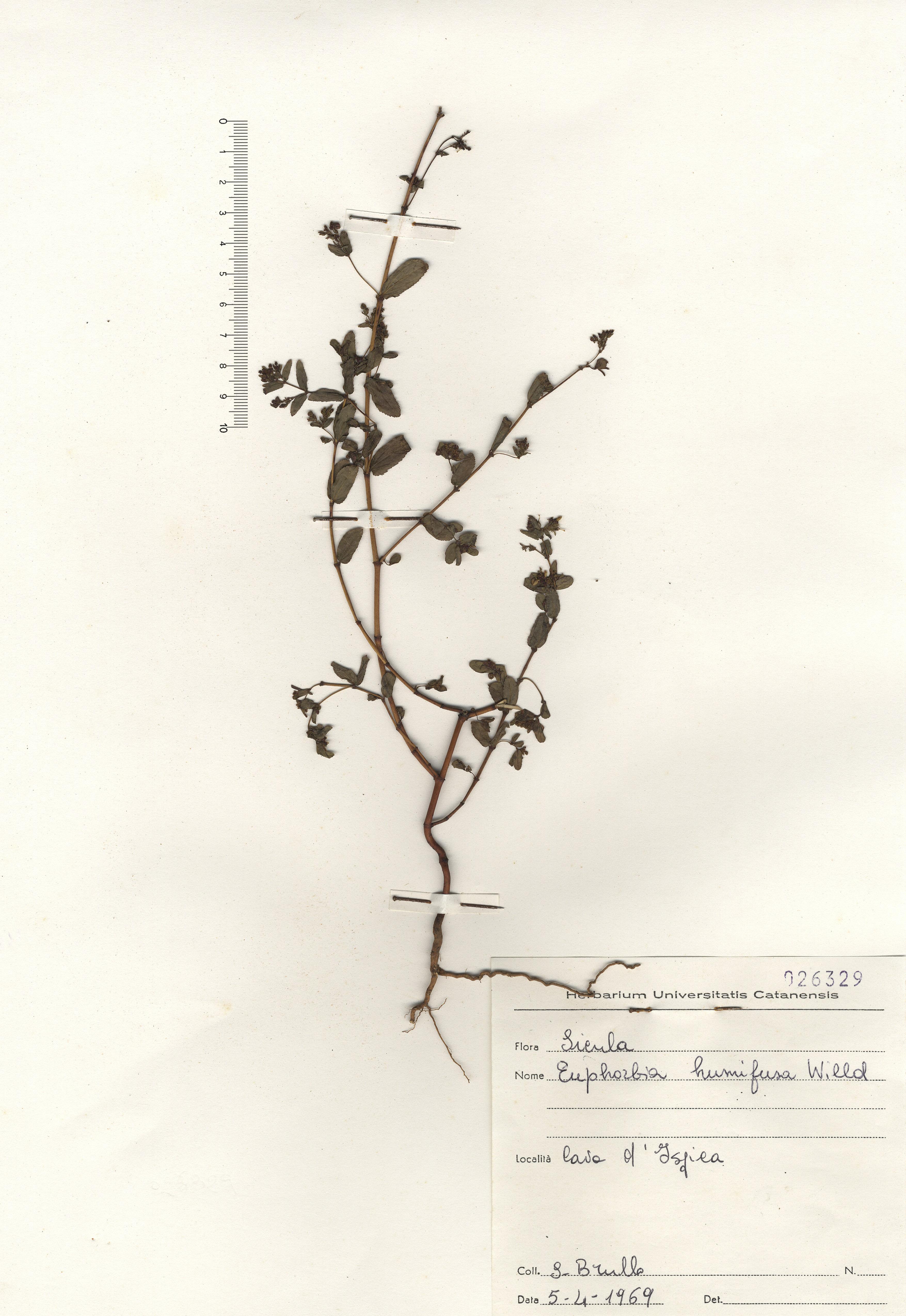 © Hortus Botanicus Catinens - Herb. sheet 026329<br>
