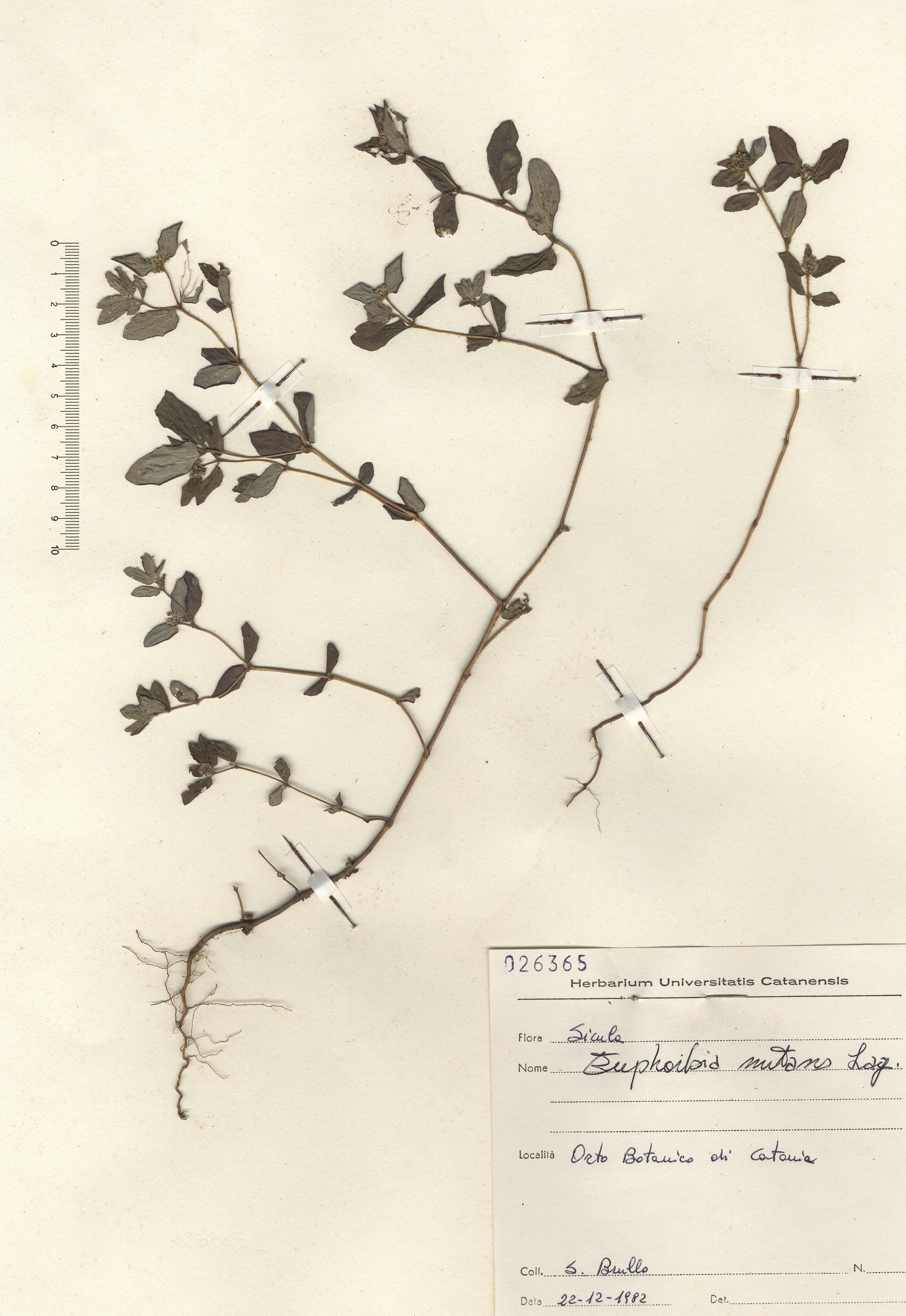 © Hortus Botanicus Catinens - Herb. sheet 026365<br>