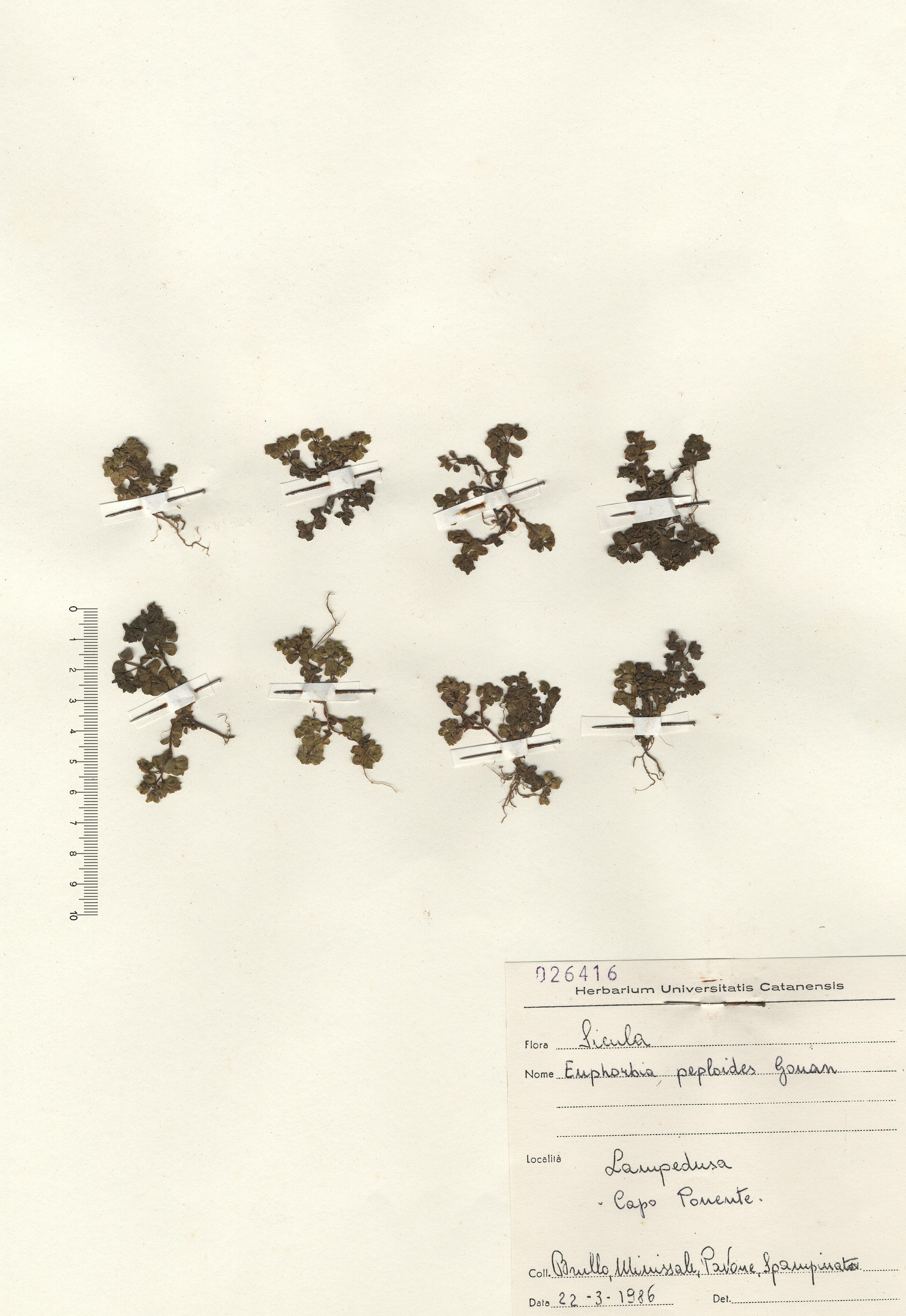 © Hortus Botanicus Catinens - Herb. sheet 026416<br>
