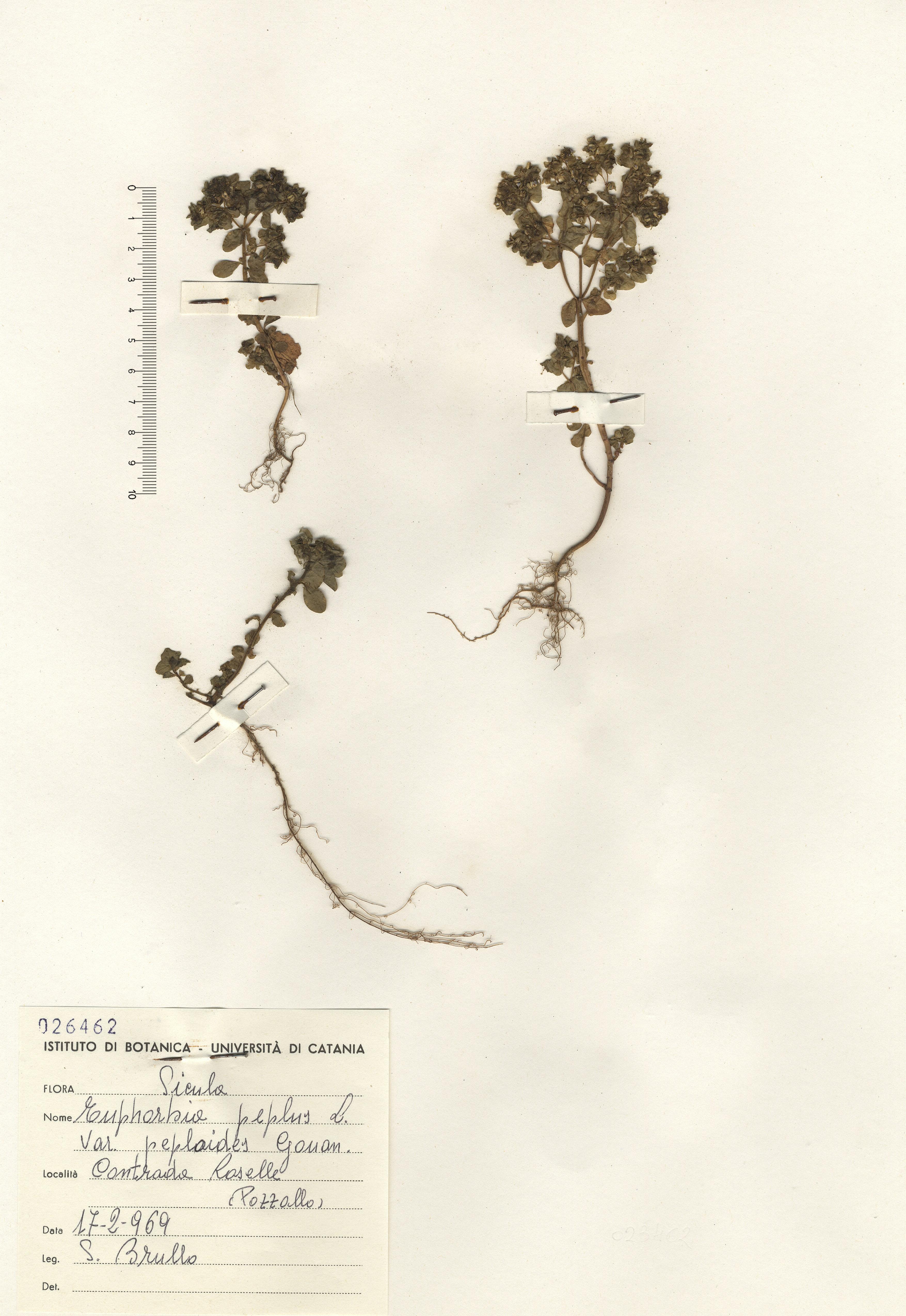 © Hortus Botanicus Catinens - Herb. sheet 026462<br>