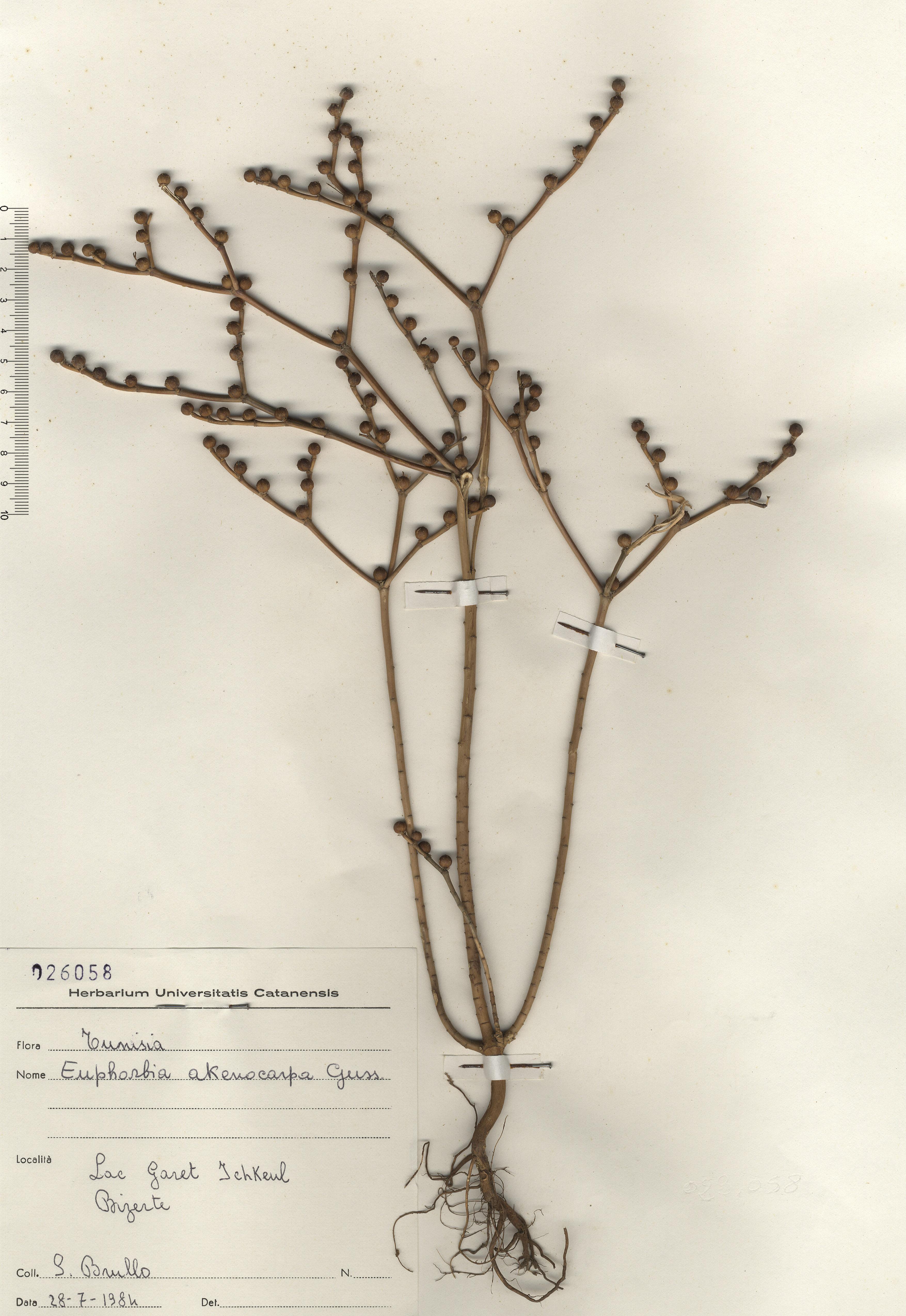 © Hortus Botanicus Catinens - Herb. sheet 026058<br>