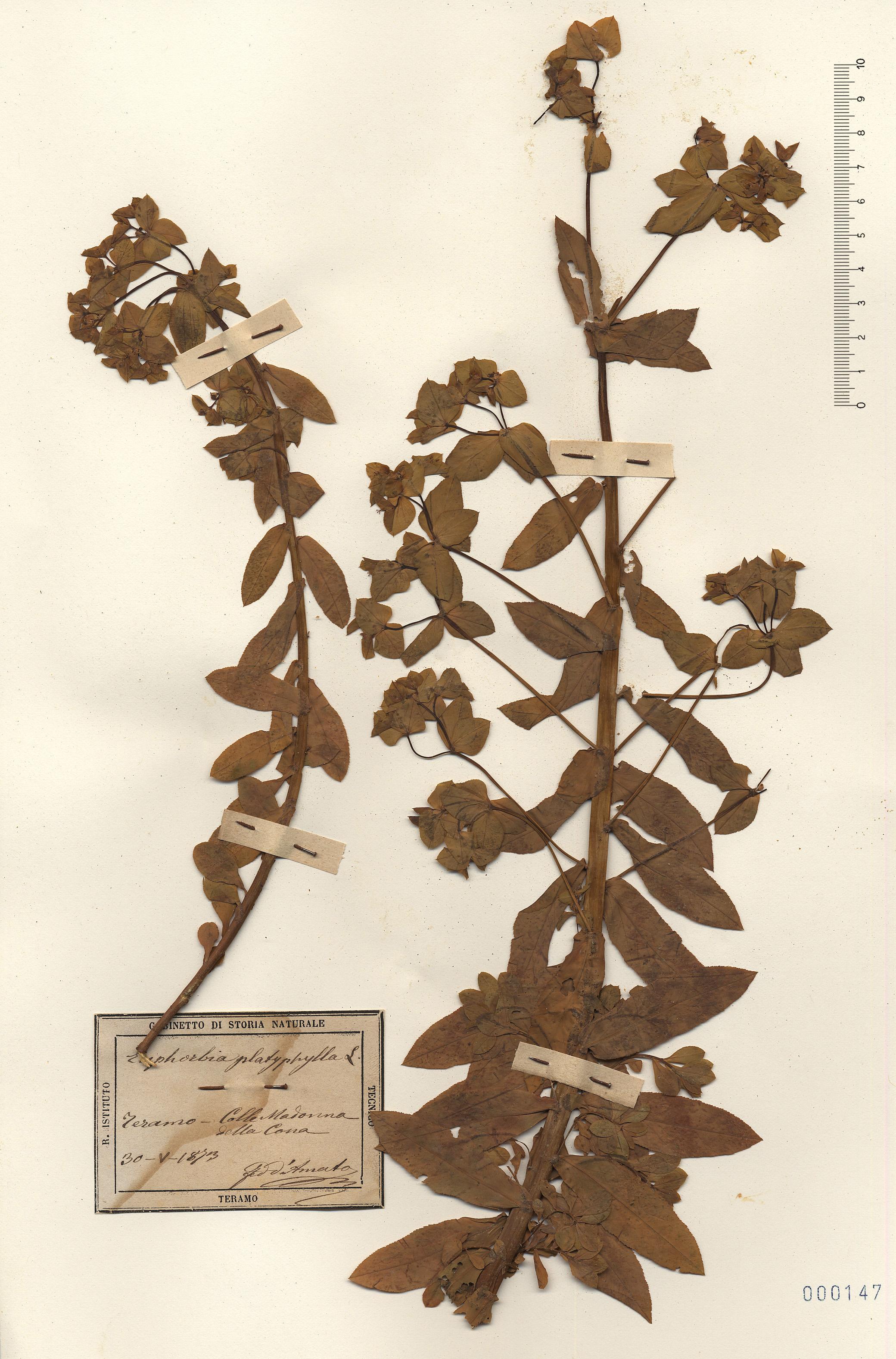 © Hortus Botanicus Catinens - Herb. sheet 000147<br>
