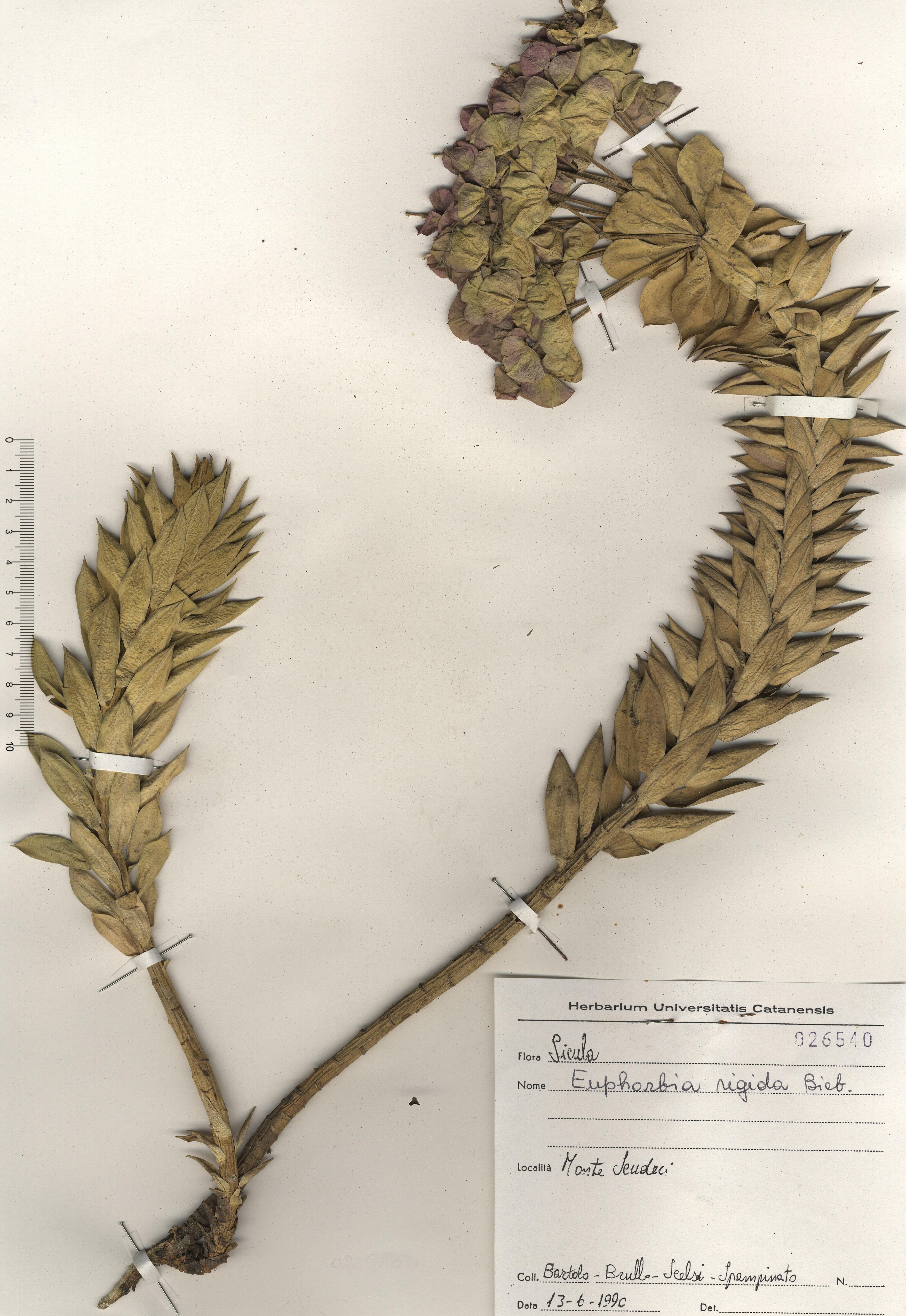 © Hortus Botanicus Catinens - Herb. sheet 026540<br>