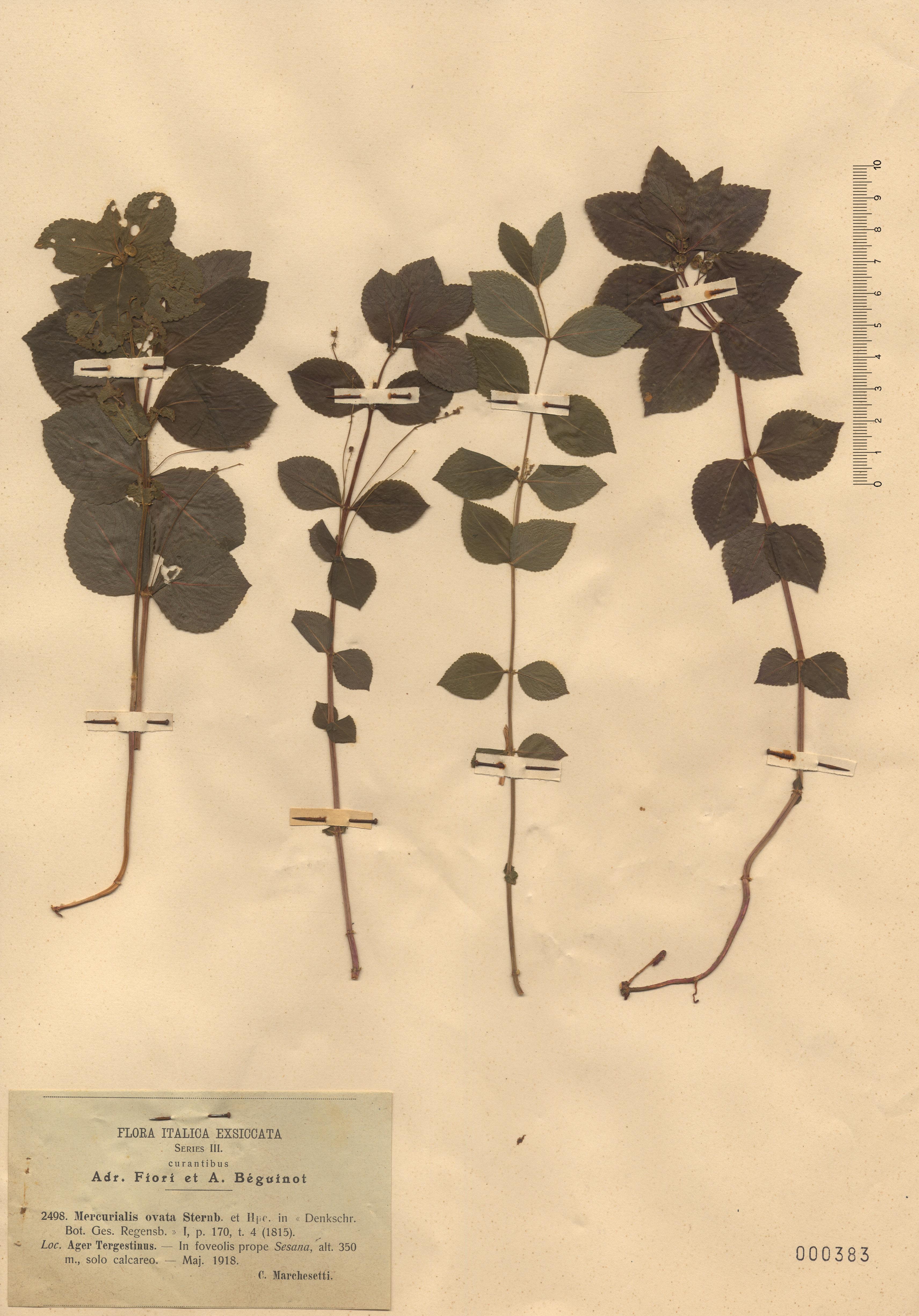 © Hortus Botanicus Catinens - Herb. sheet 000383<br>