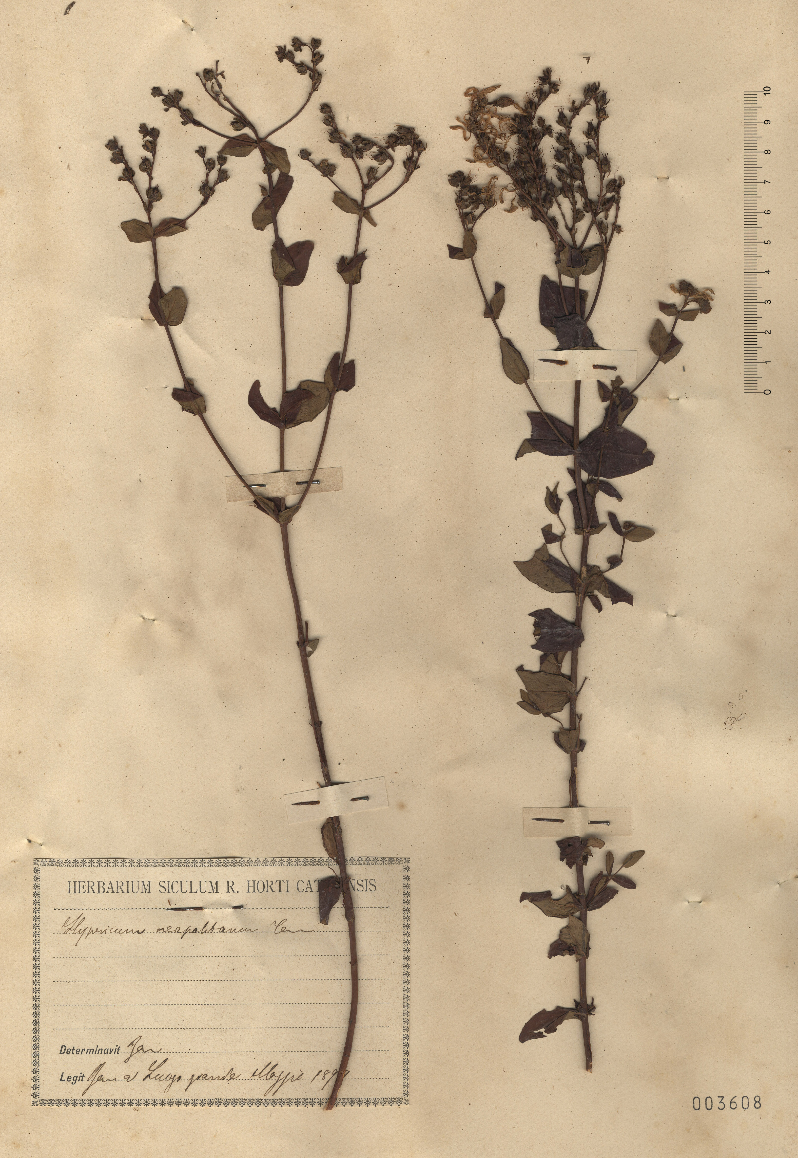 © Hortus Botanicus Catinens - Herb. sheet 003608<br>