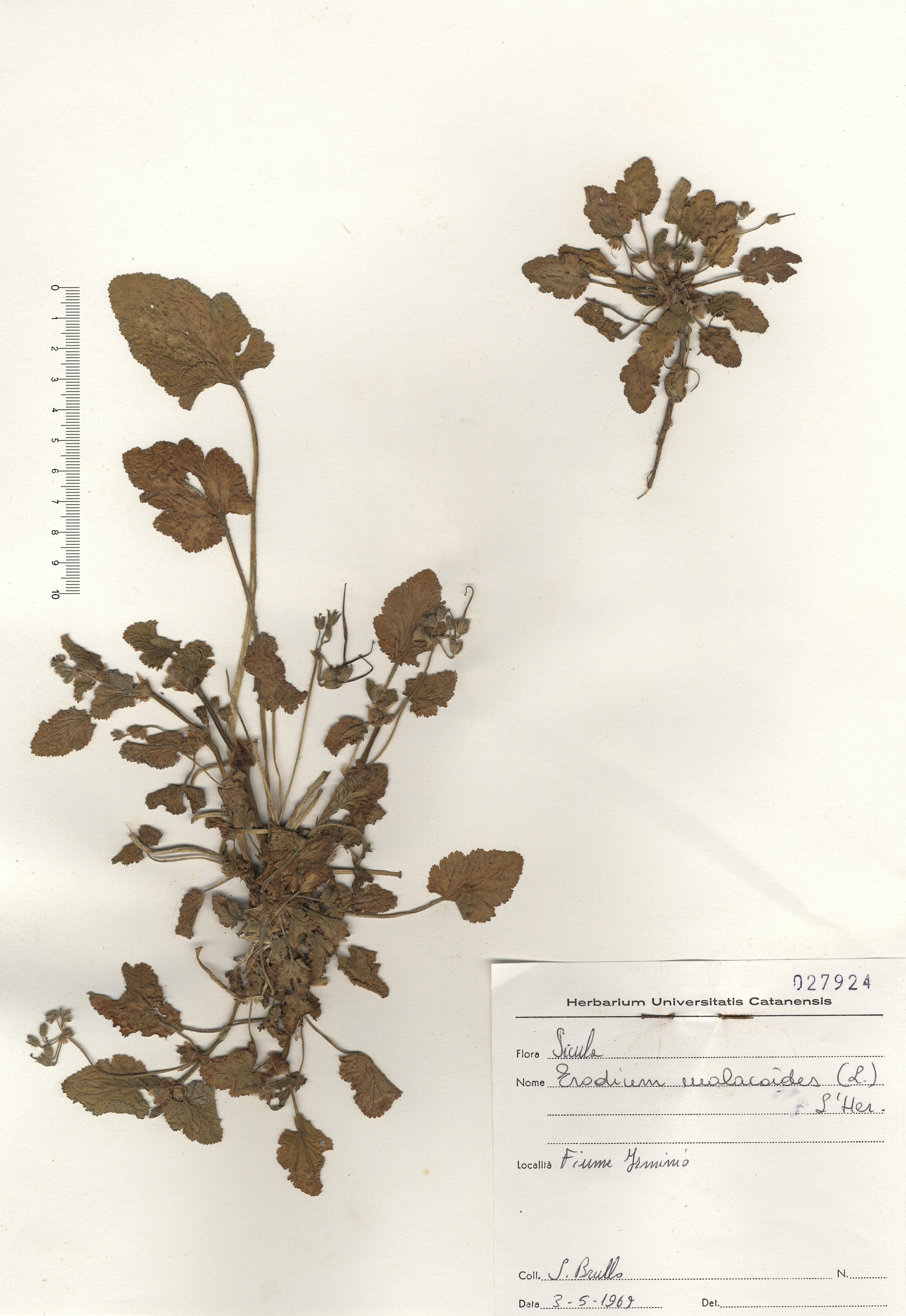 © Hortus Botanicus Catinensis - Herb. sheet 027924<br>
