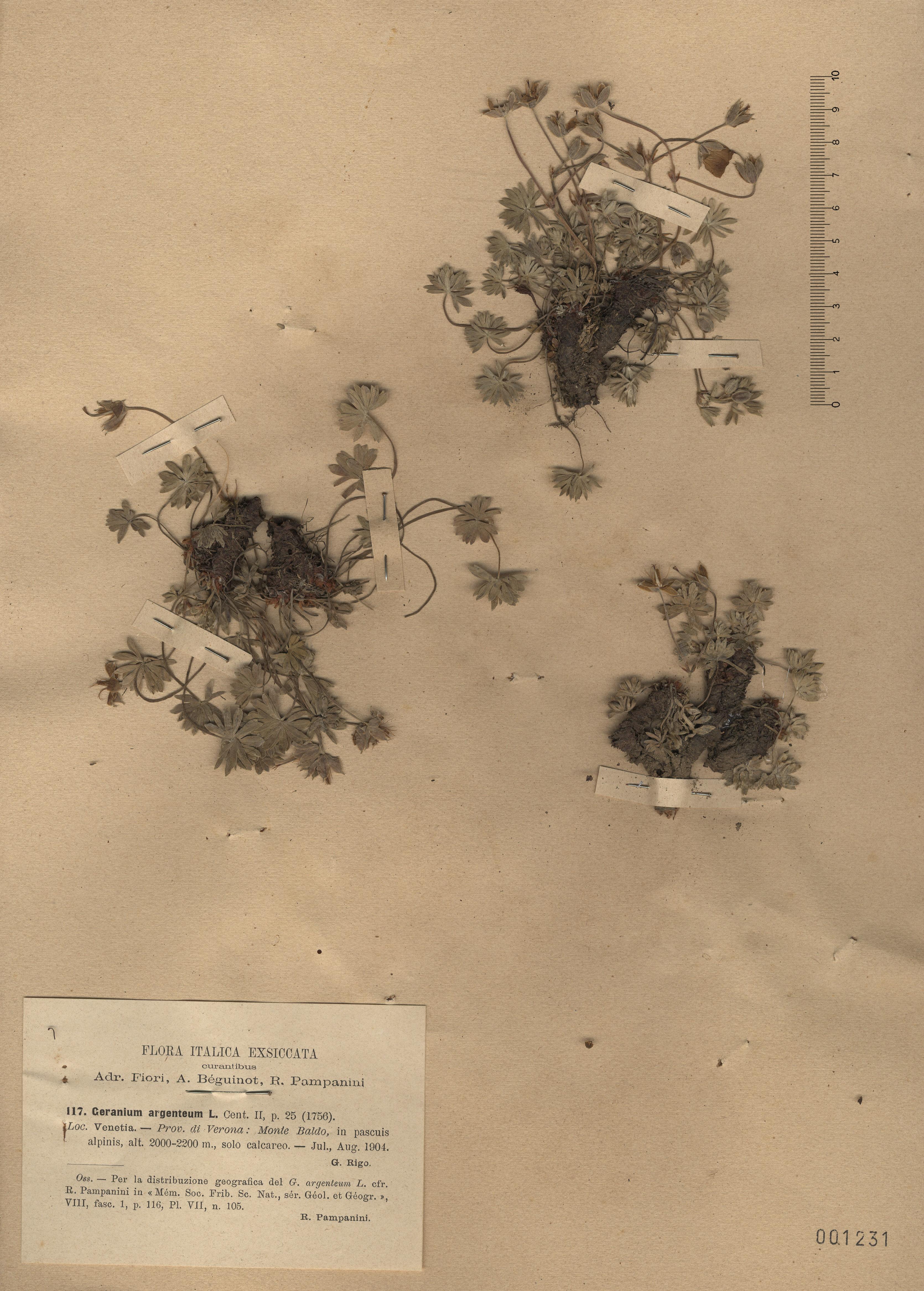 © Hortus Botanicus Catinensis - Herb. sheet 001231<br>