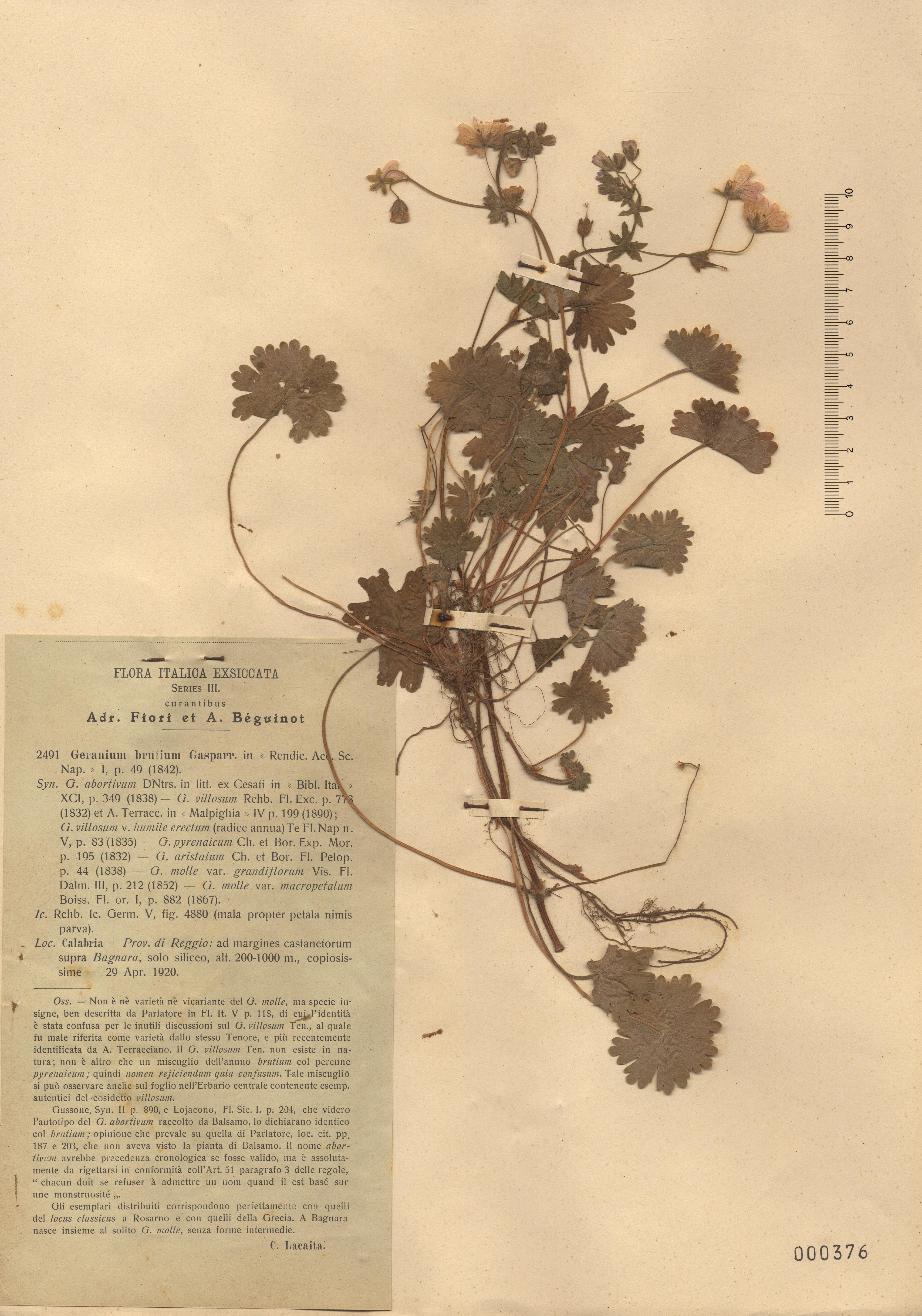 © Hortus Botanicus Catinensis - Herb. sheet 000376<br>