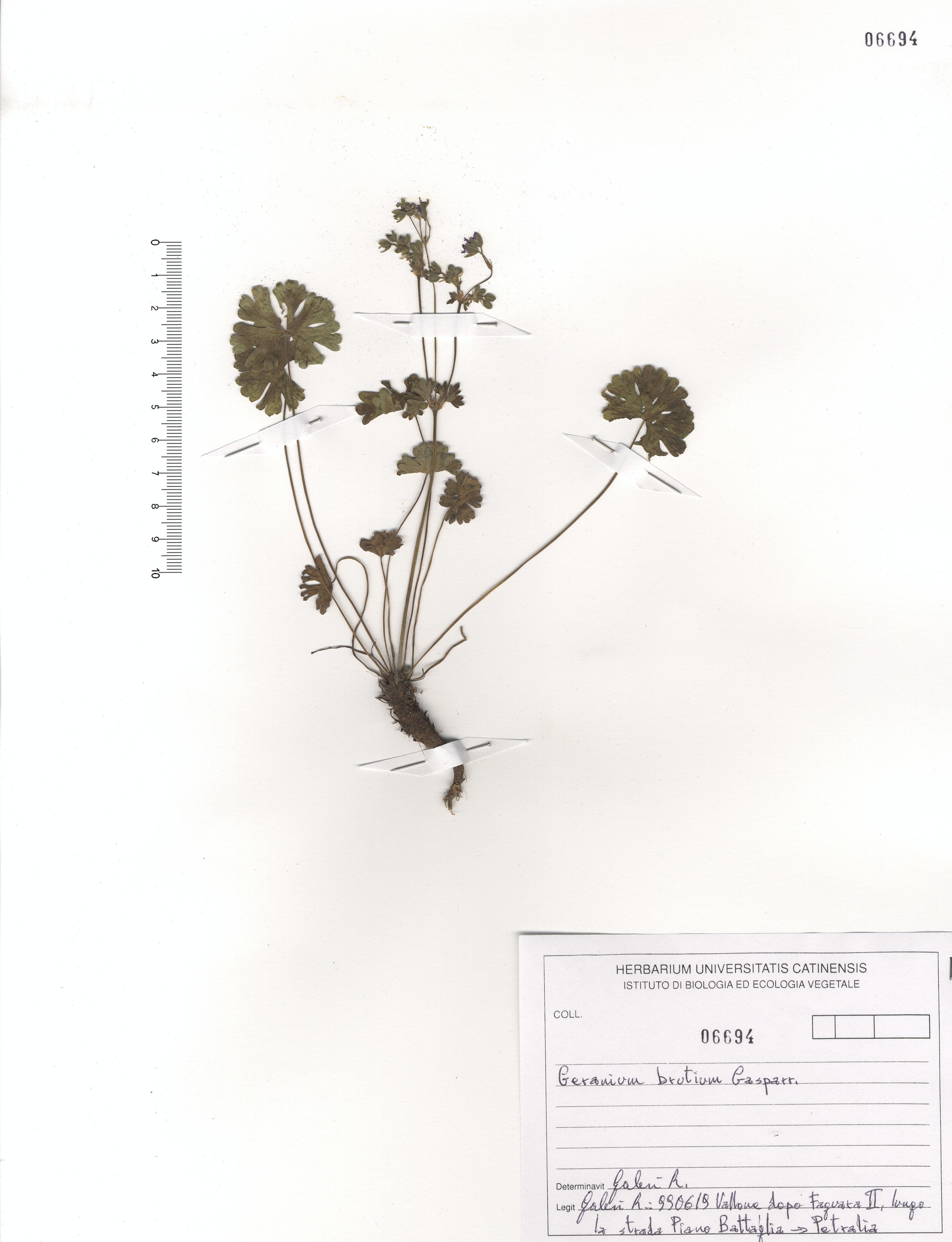 © Hortus Botanicus Catinensis - Herb. sheet 106694<br>