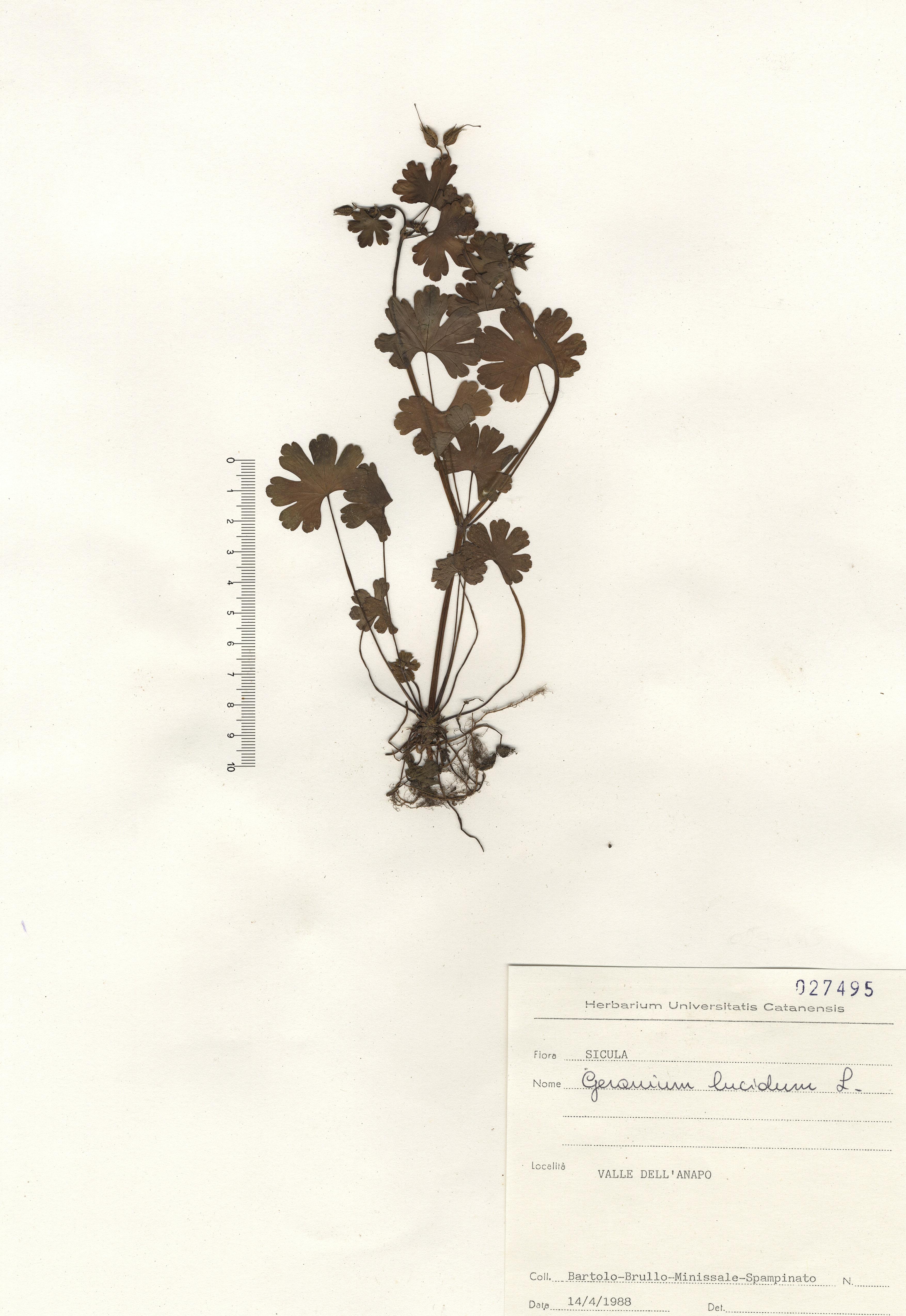 © Hortus Botanicus Catinensis - Herb. sheet 027495<br>